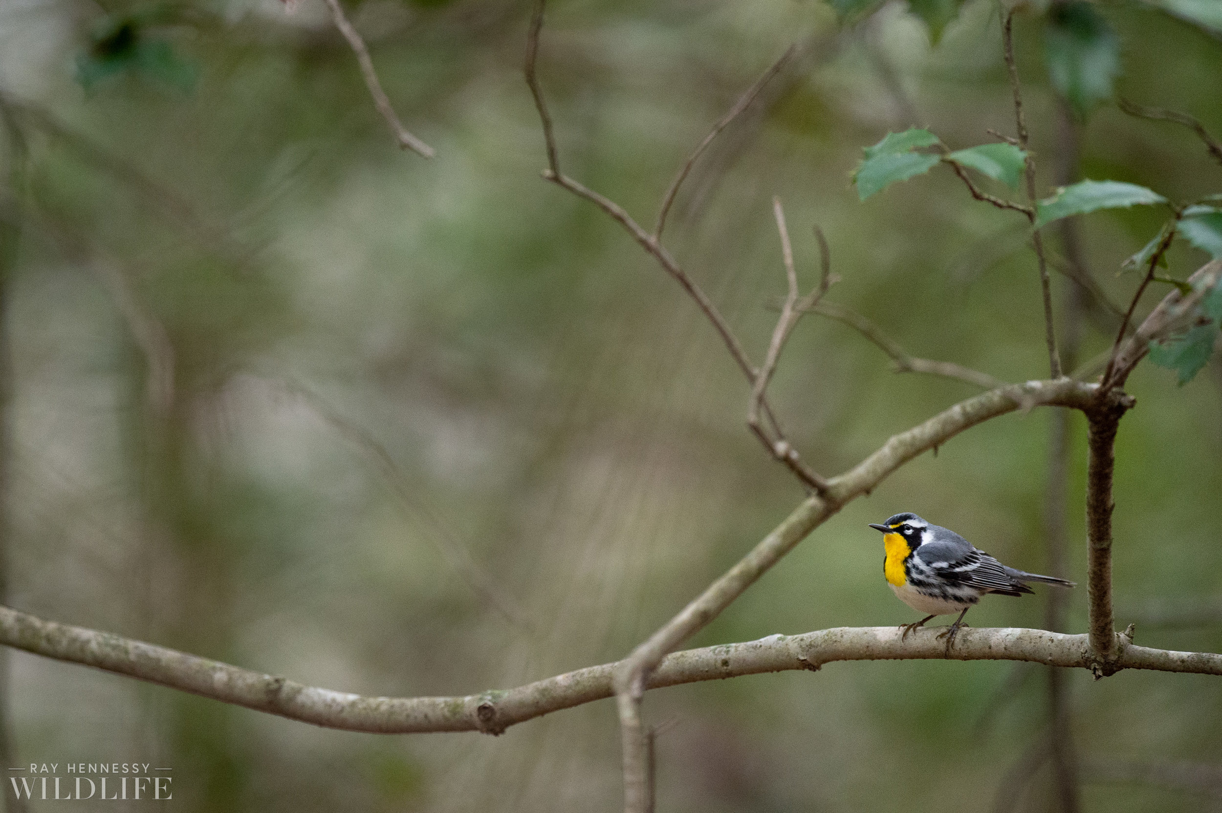 004_pine-and-yellow-throated-warbler.jpg