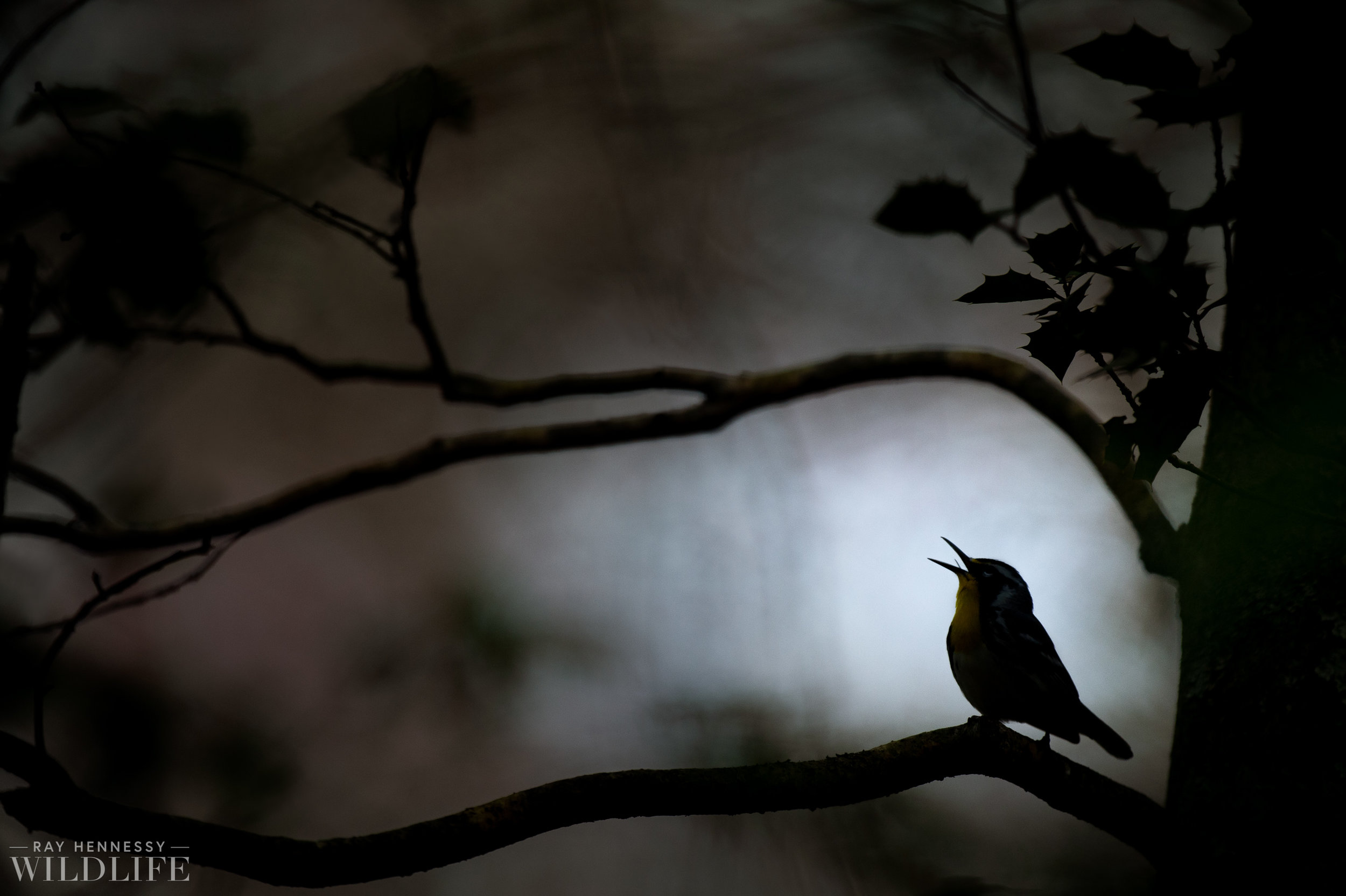 005_pine-and-yellow-throated-warbler.jpg