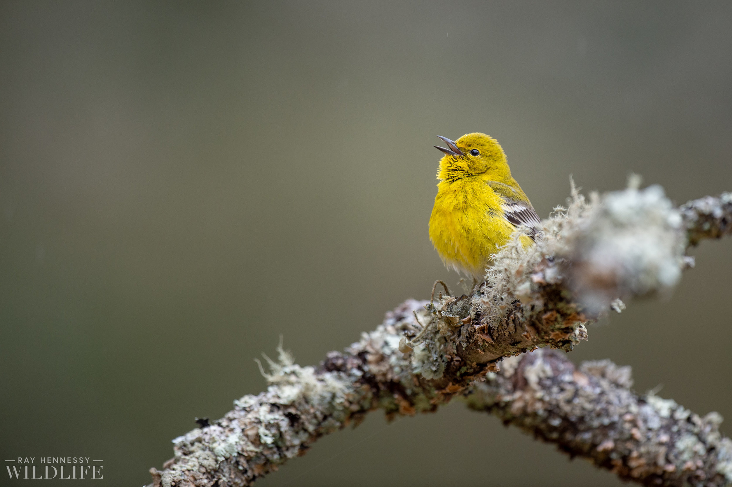 009_pine-and-yellow-throated-warbler.jpg