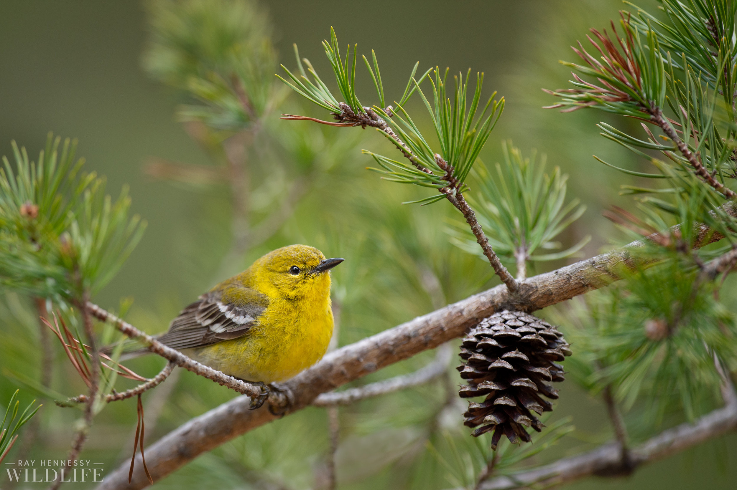 013_pine-and-yellow-throated-warbler.jpg