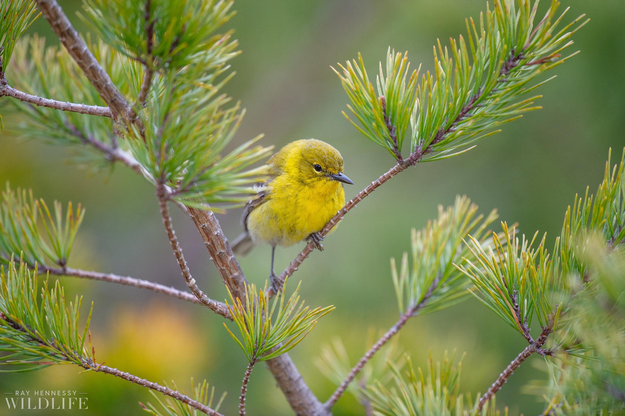 016_pine-and-yellow-throated-warbler.jpg