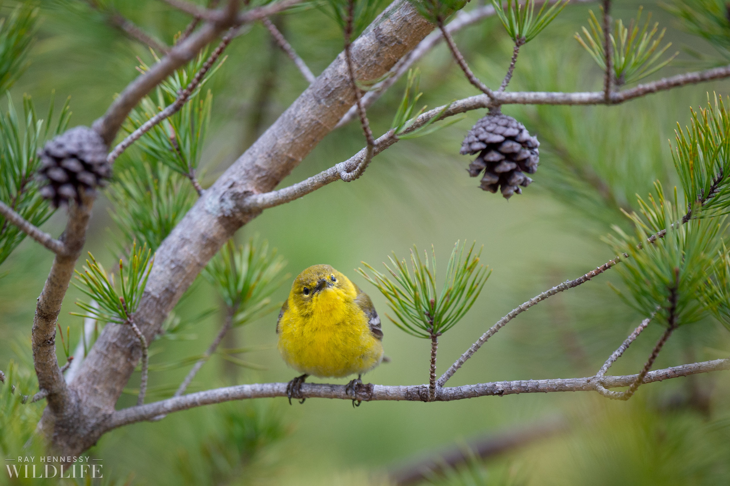 017_pine-and-yellow-throated-warbler.jpg