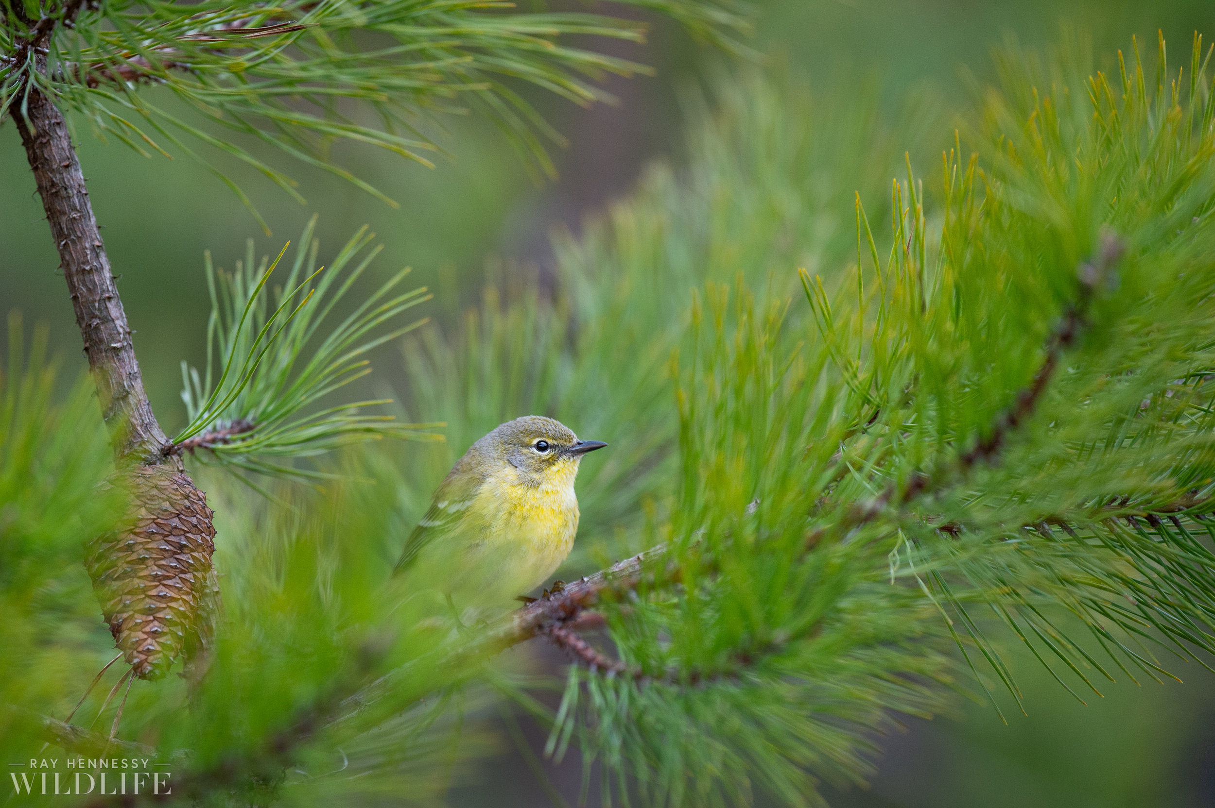 020_pine-and-yellow-throated-warbler.jpg