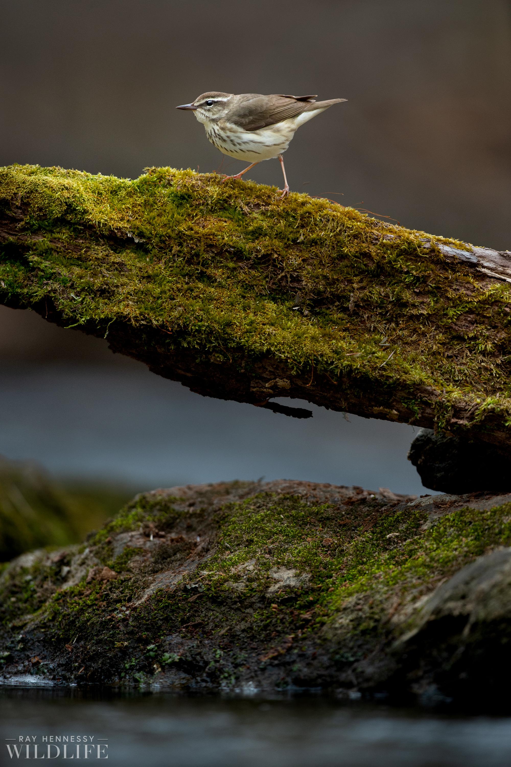 002_louisiana-waterthrush.jpg
