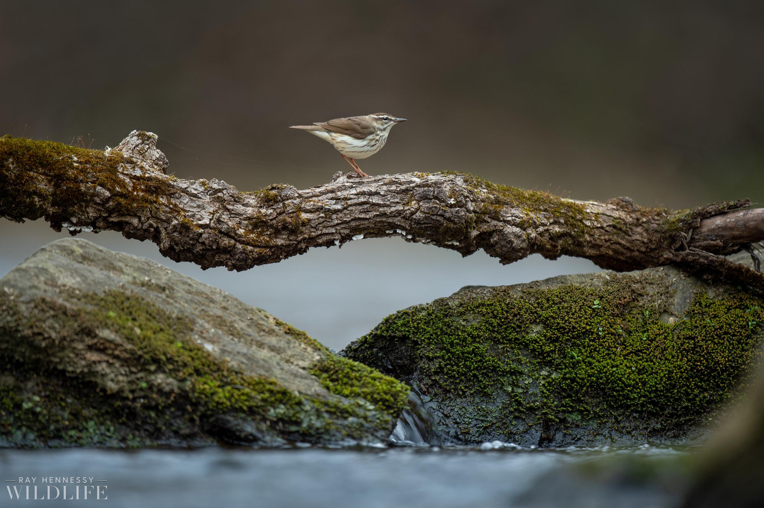 004_louisiana-waterthrush.jpg