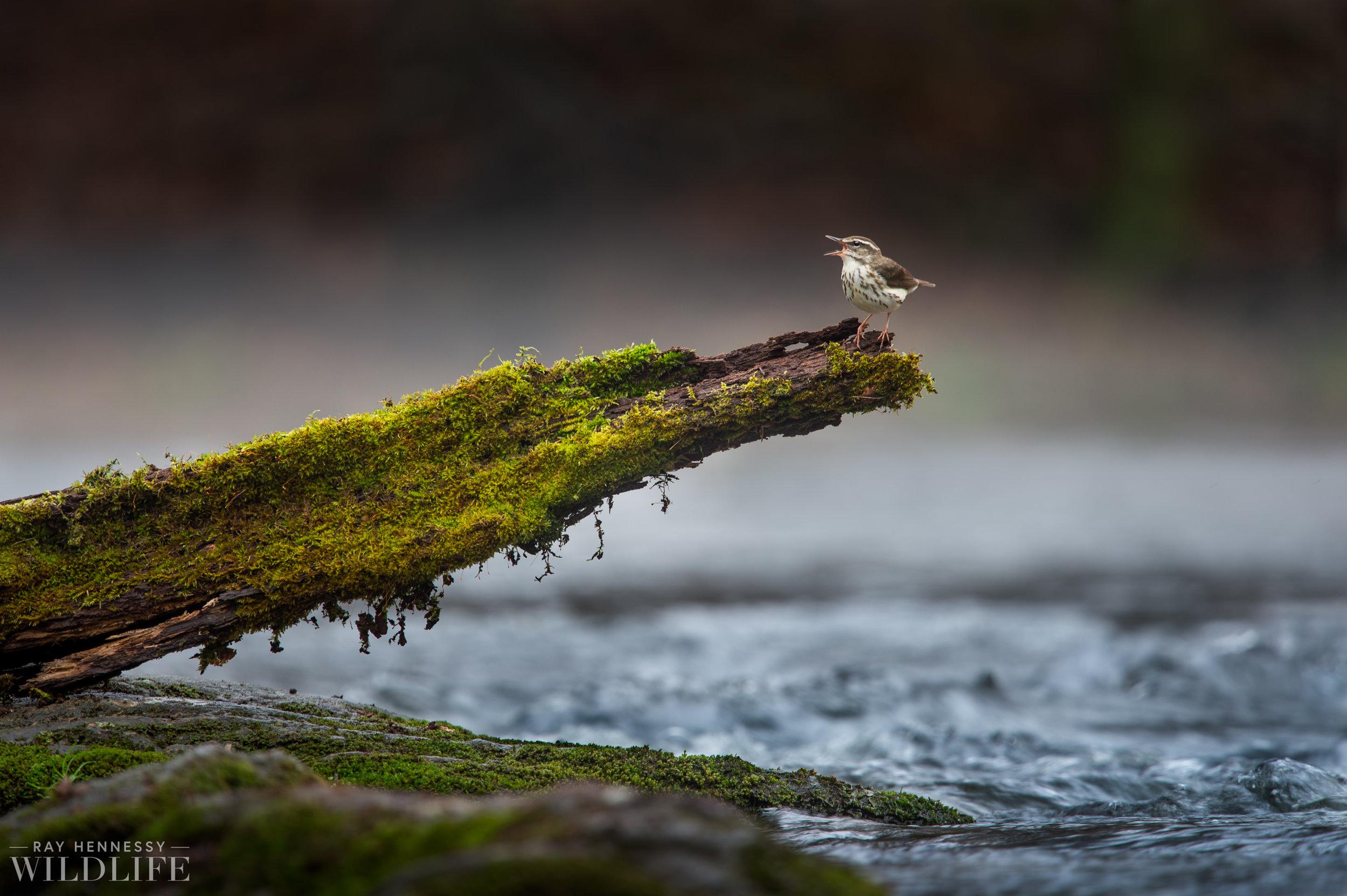 001_louisiana-waterthrush-pine-warbler.jpg