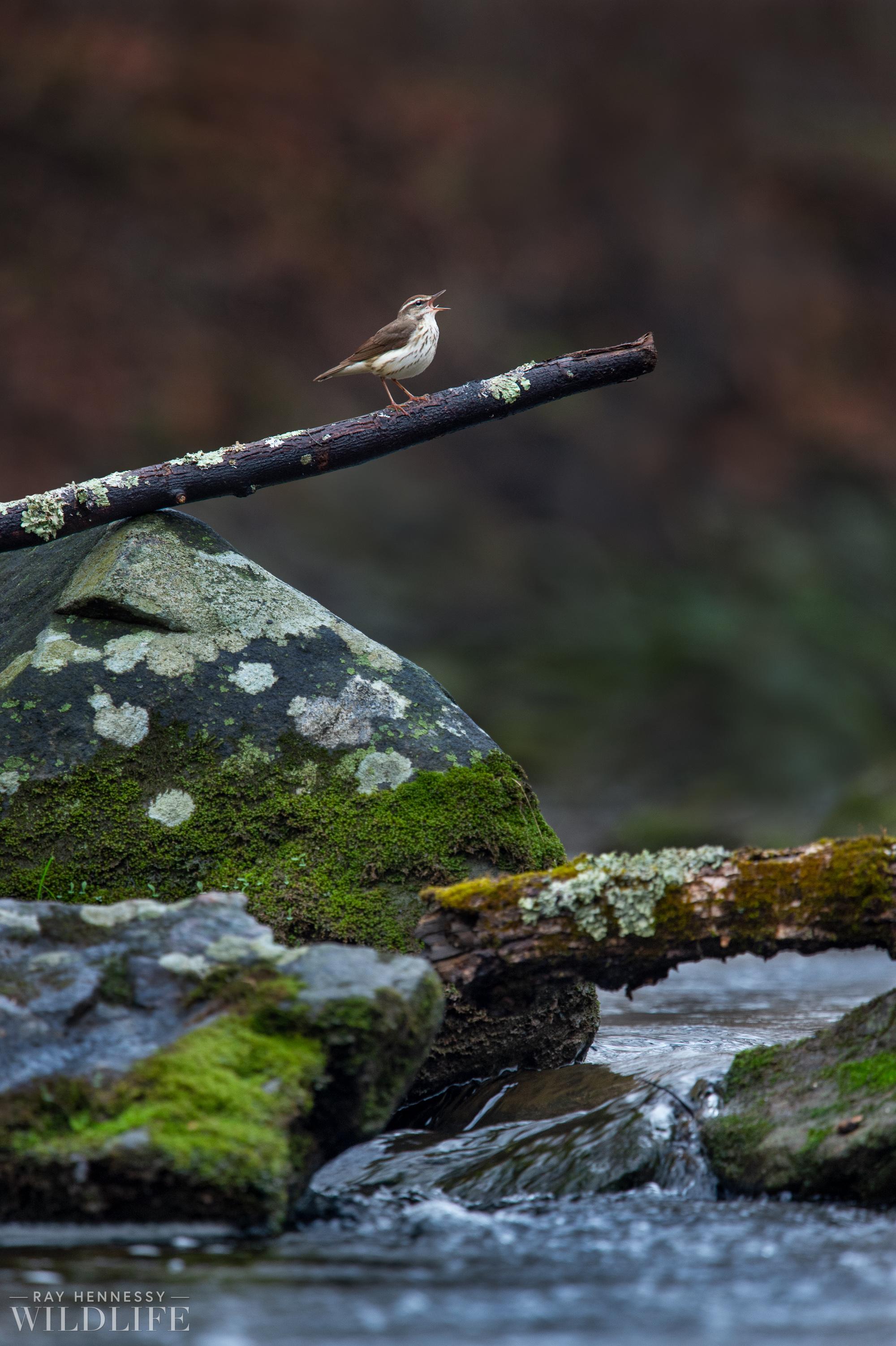 002_louisiana-waterthrush-pine-warbler.jpg