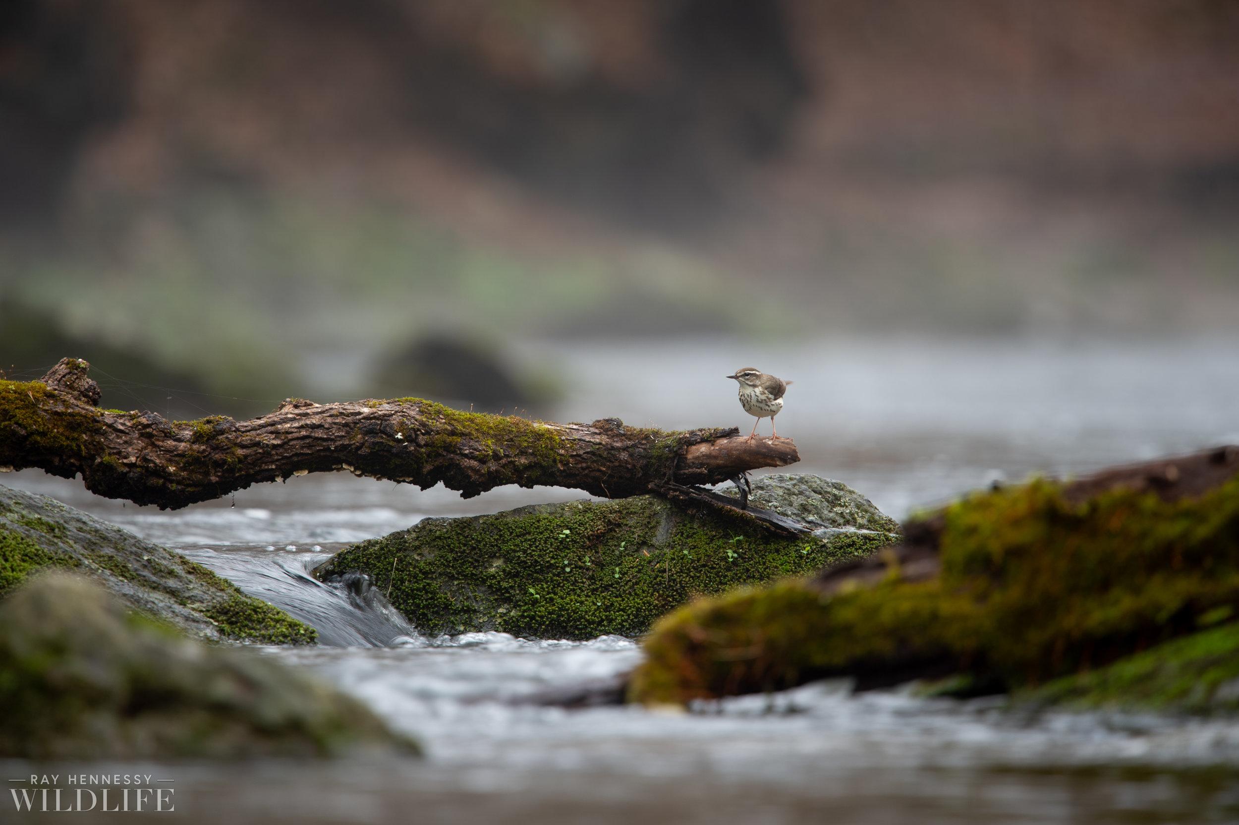 003_louisiana-waterthrush-pine-warbler.jpg