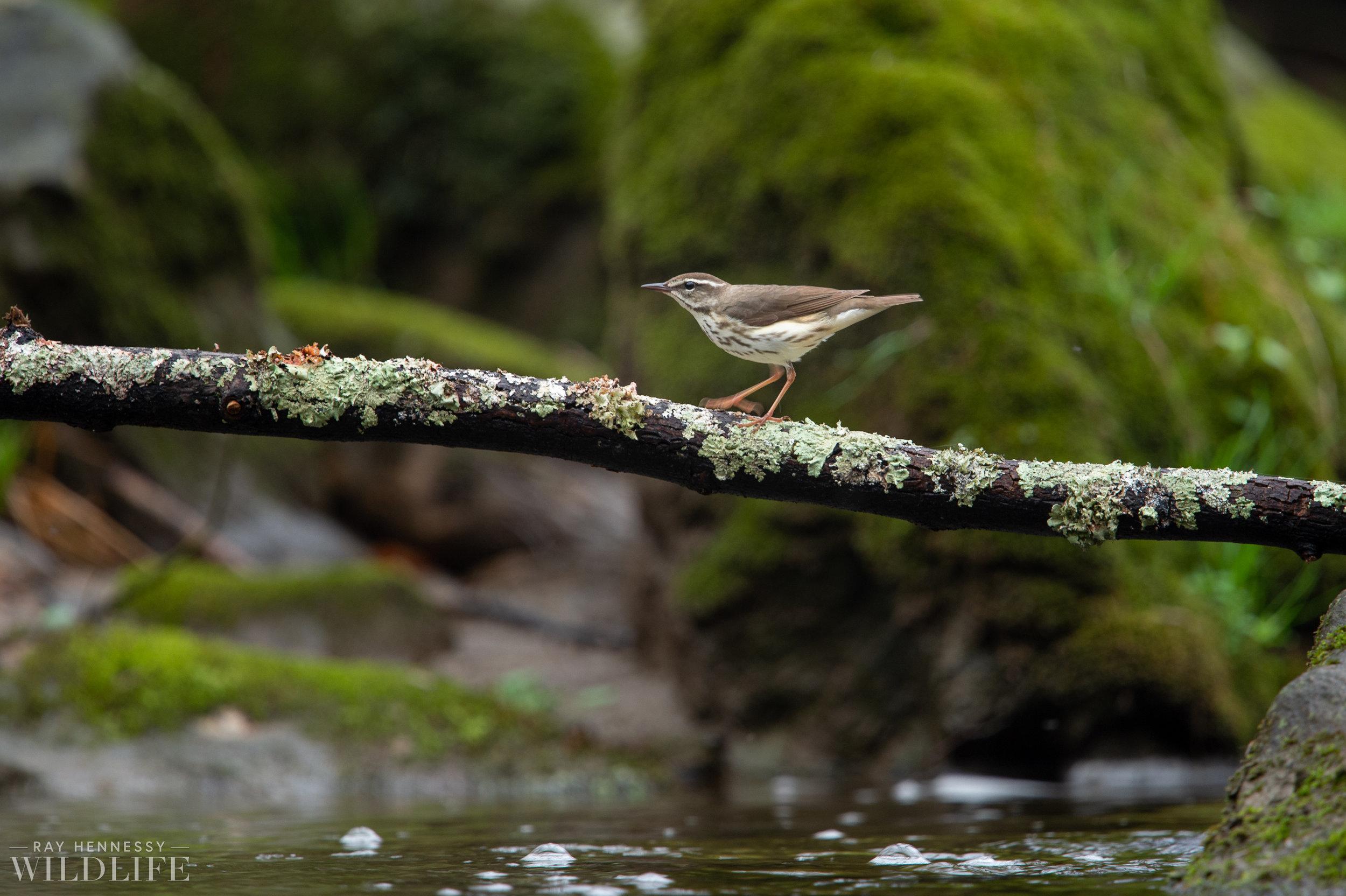 005_louisiana-waterthrush-pine-warbler.jpg