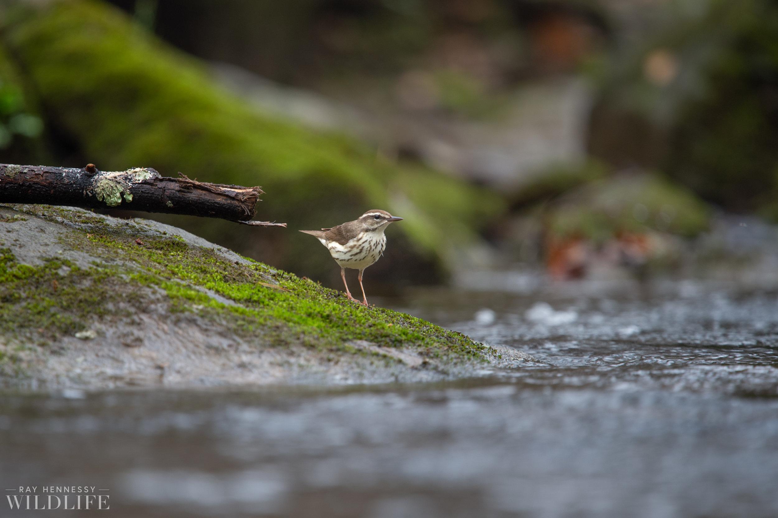 004_louisiana-waterthrush-pine-warbler.jpg