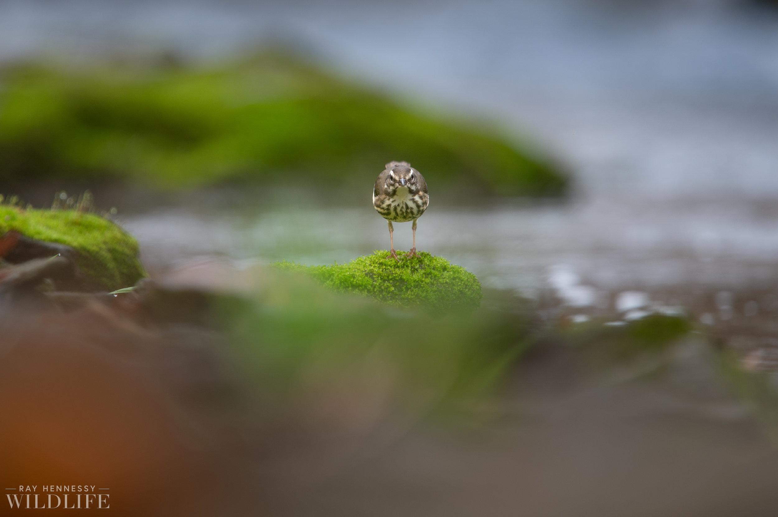 006_louisiana-waterthrush-pine-warbler.jpg