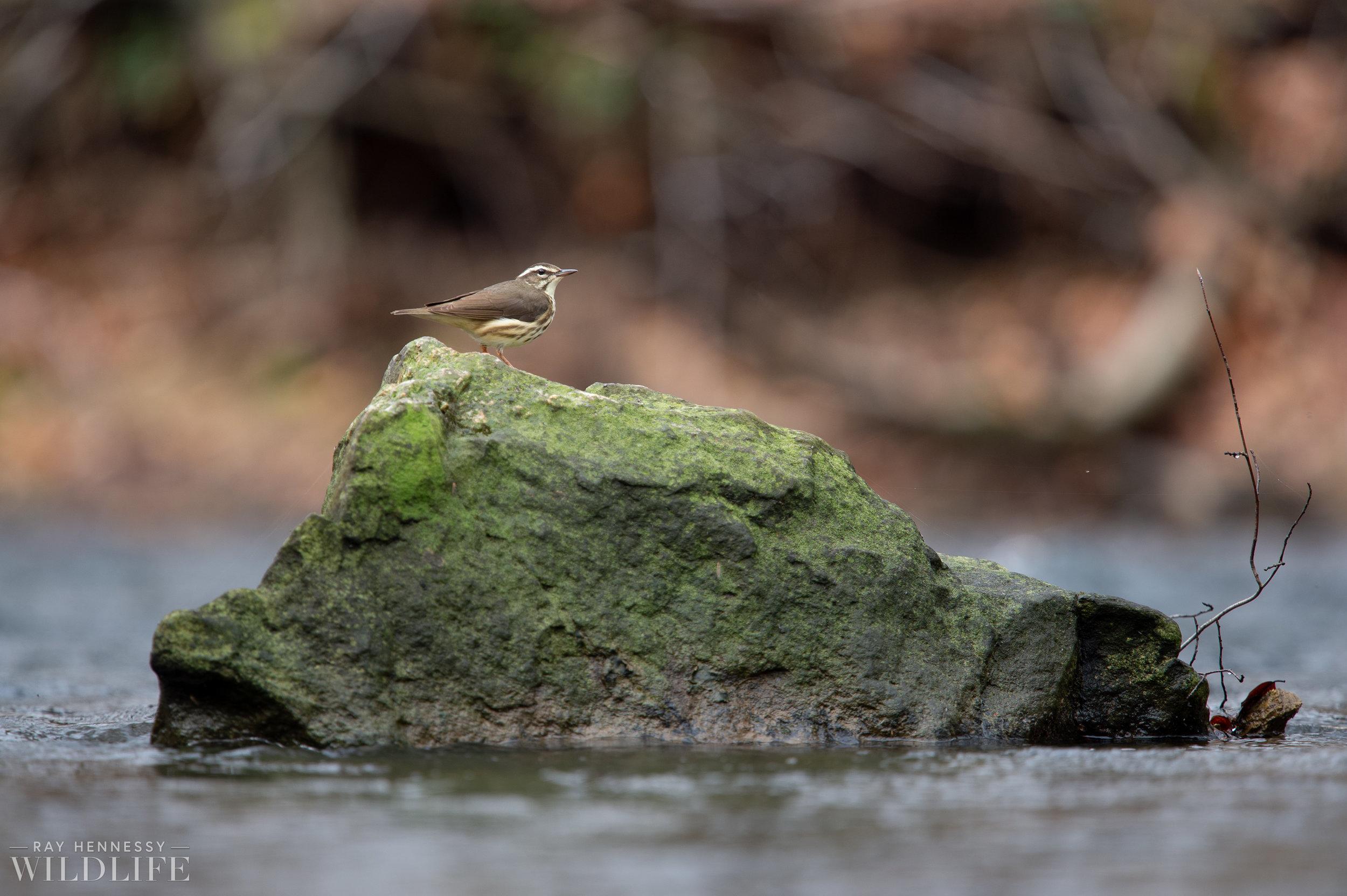 007_louisiana-waterthrush-pine-warbler.jpg