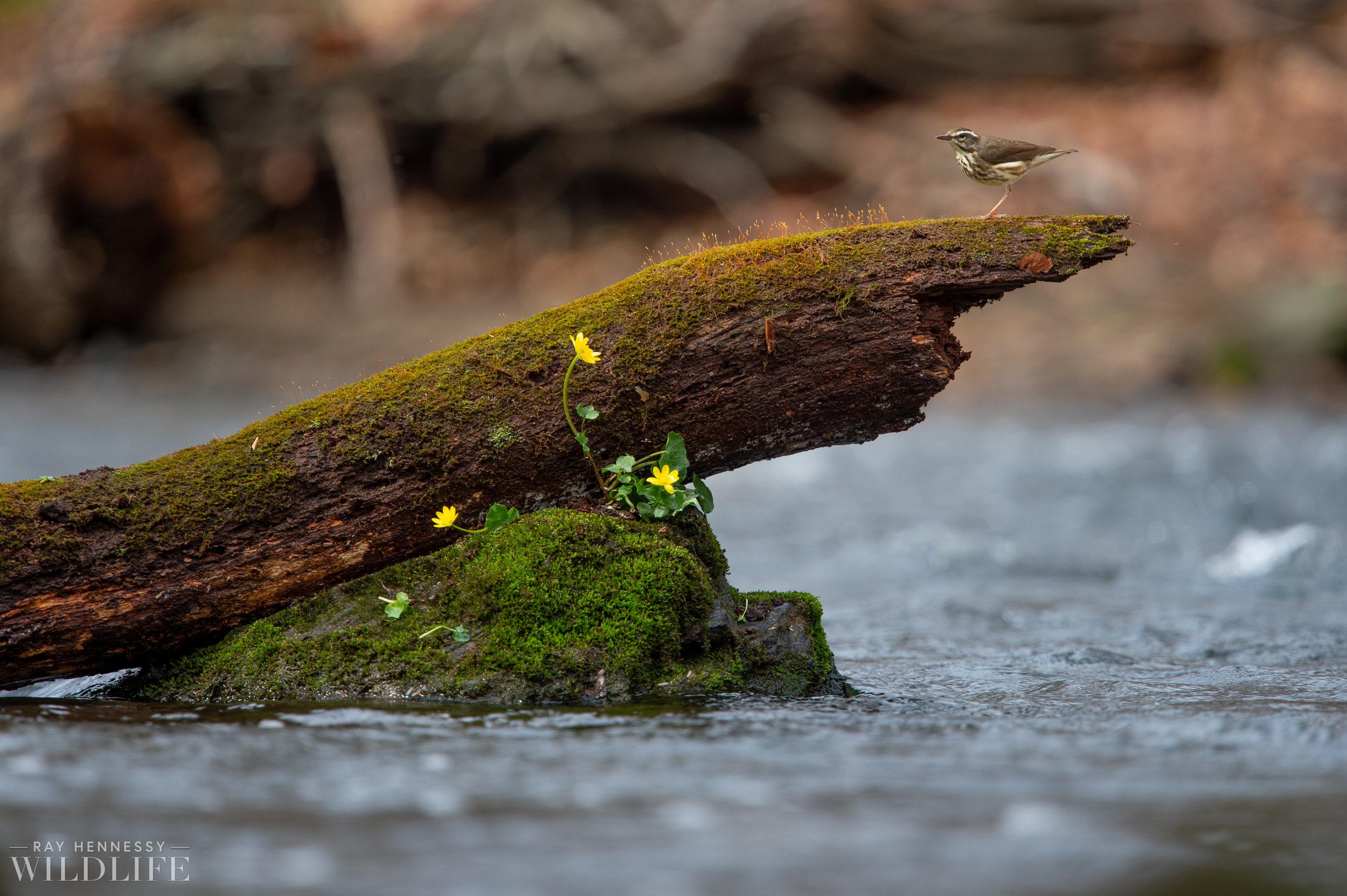 008_louisiana-waterthrush-pine-warbler.jpg