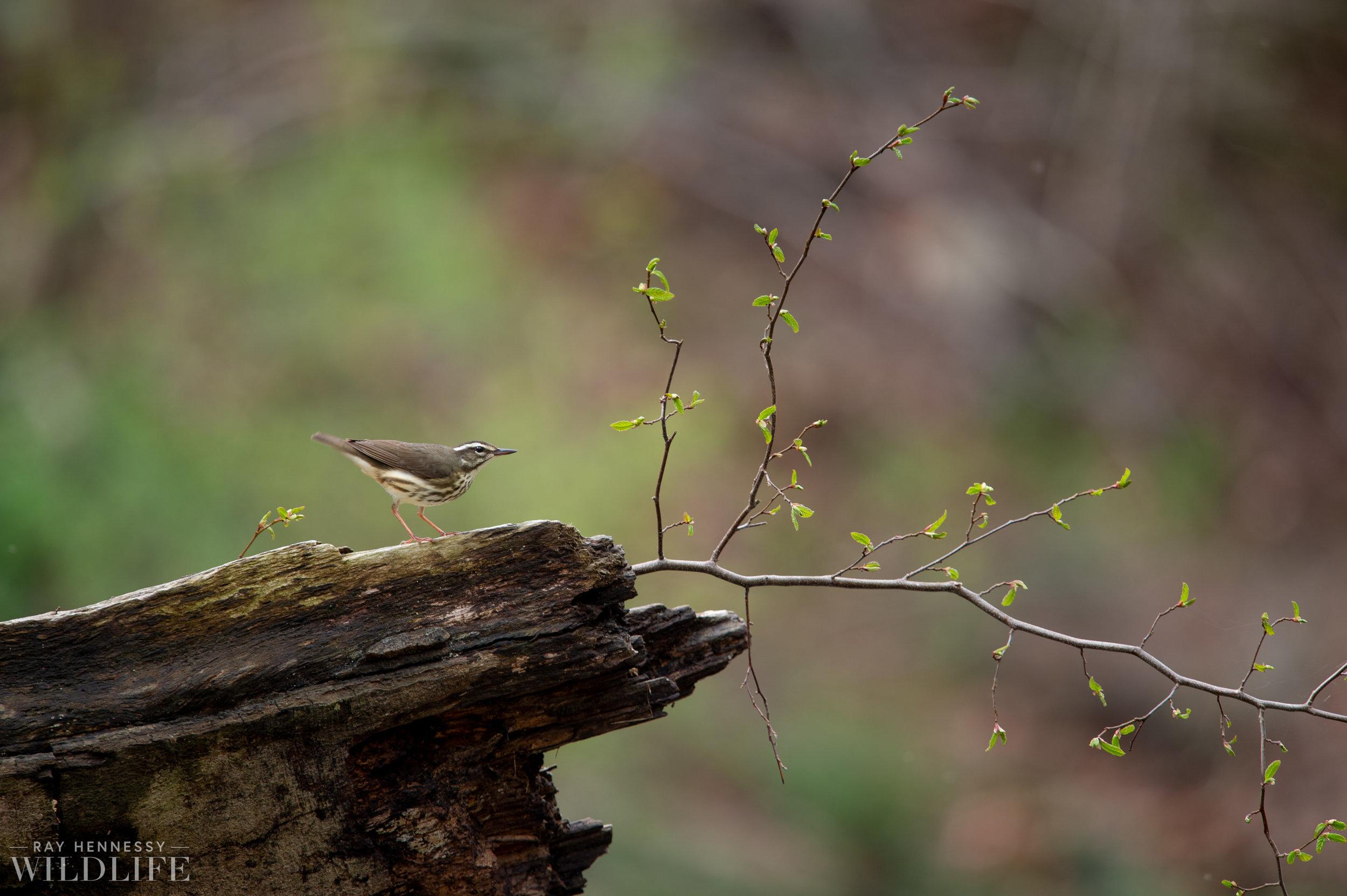 009_louisiana-waterthrush-pine-warbler.jpg