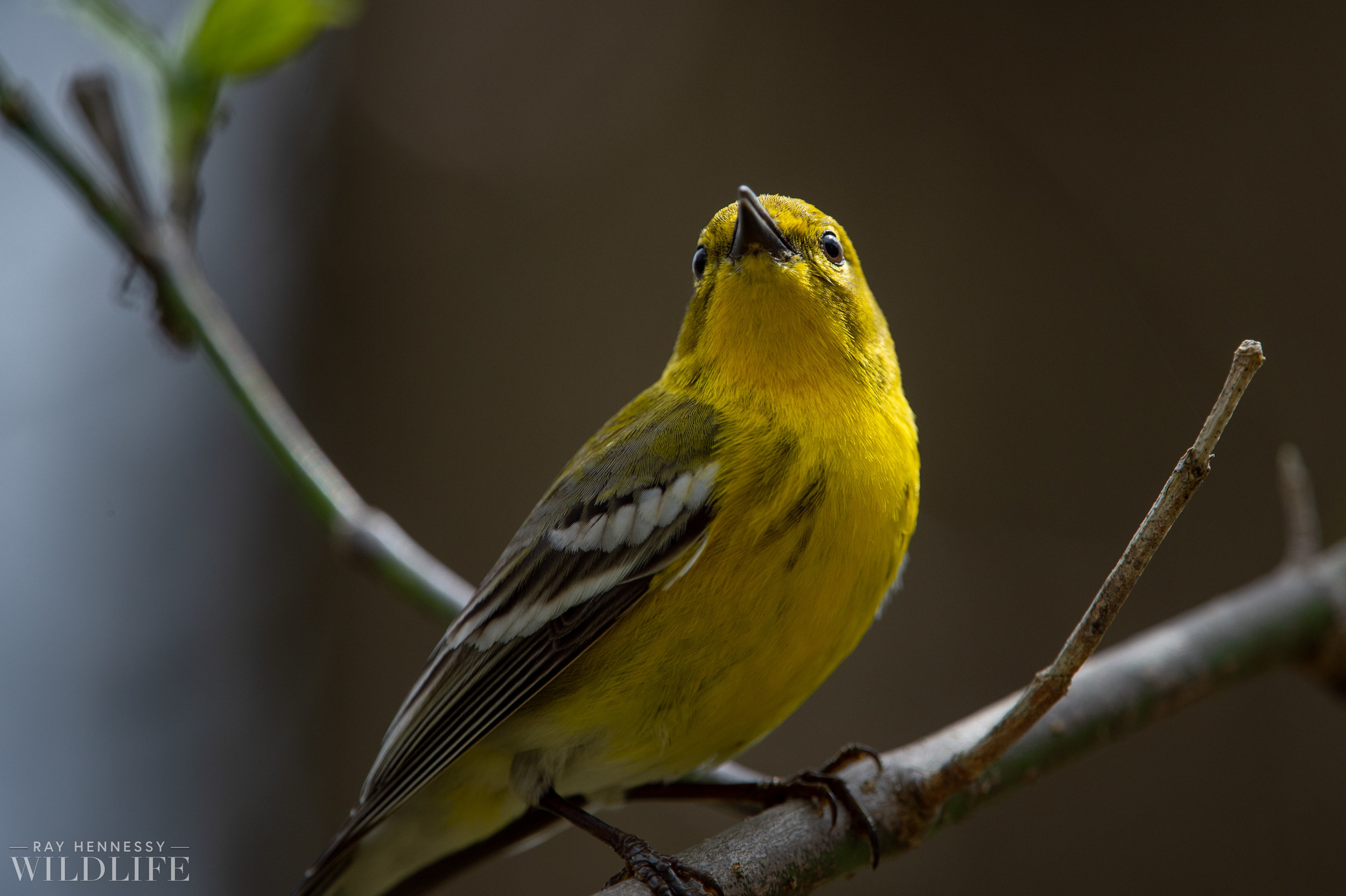 010_louisiana-waterthrush-pine-warbler.jpg