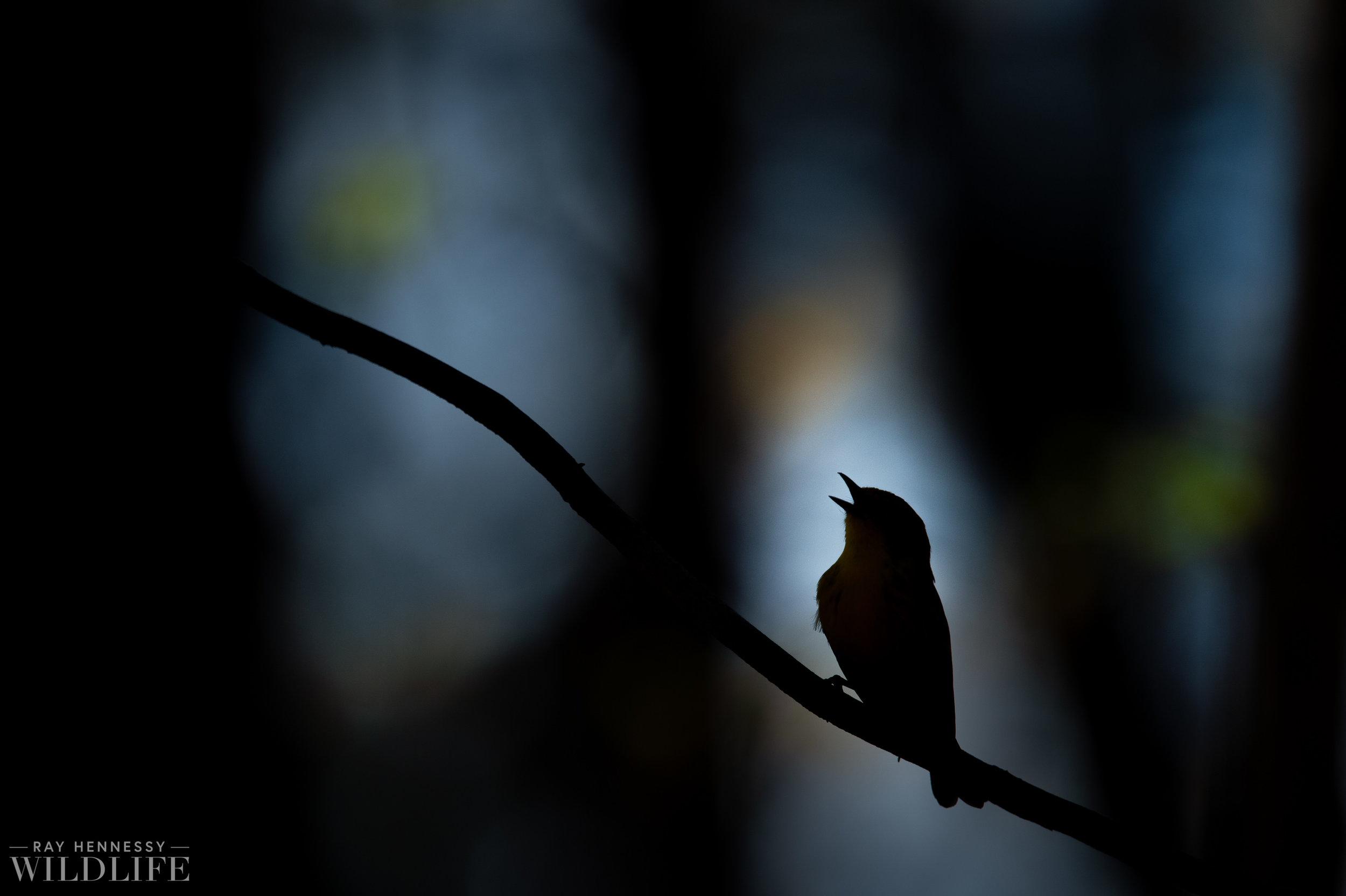 011_louisiana-waterthrush-pine-warbler.jpg