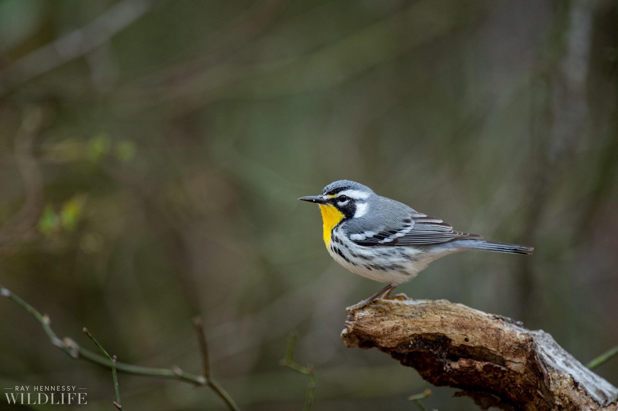 013_spring-warblers-new-jersey.jpg