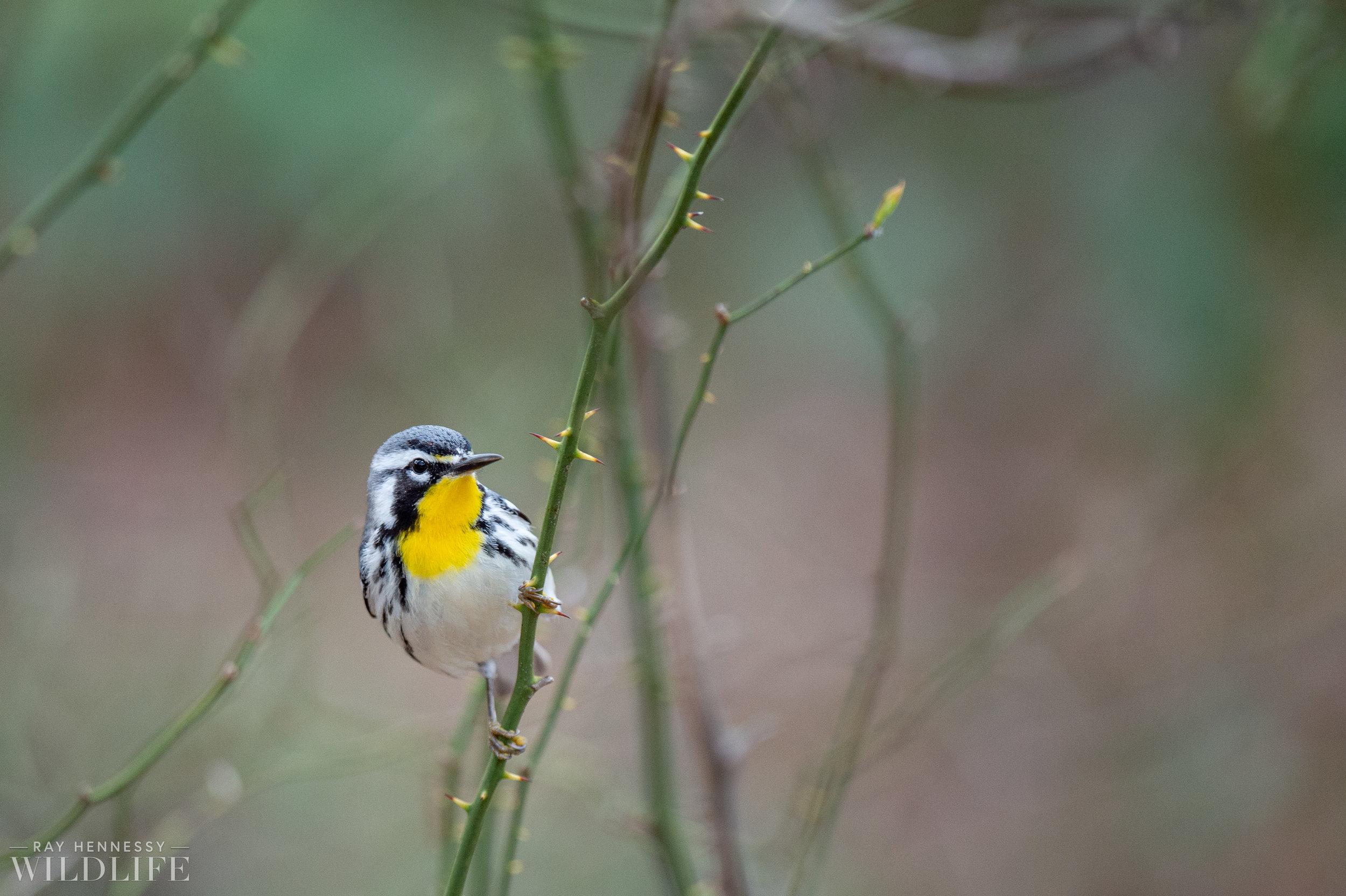 012_spring-warblers-new-jersey.jpg