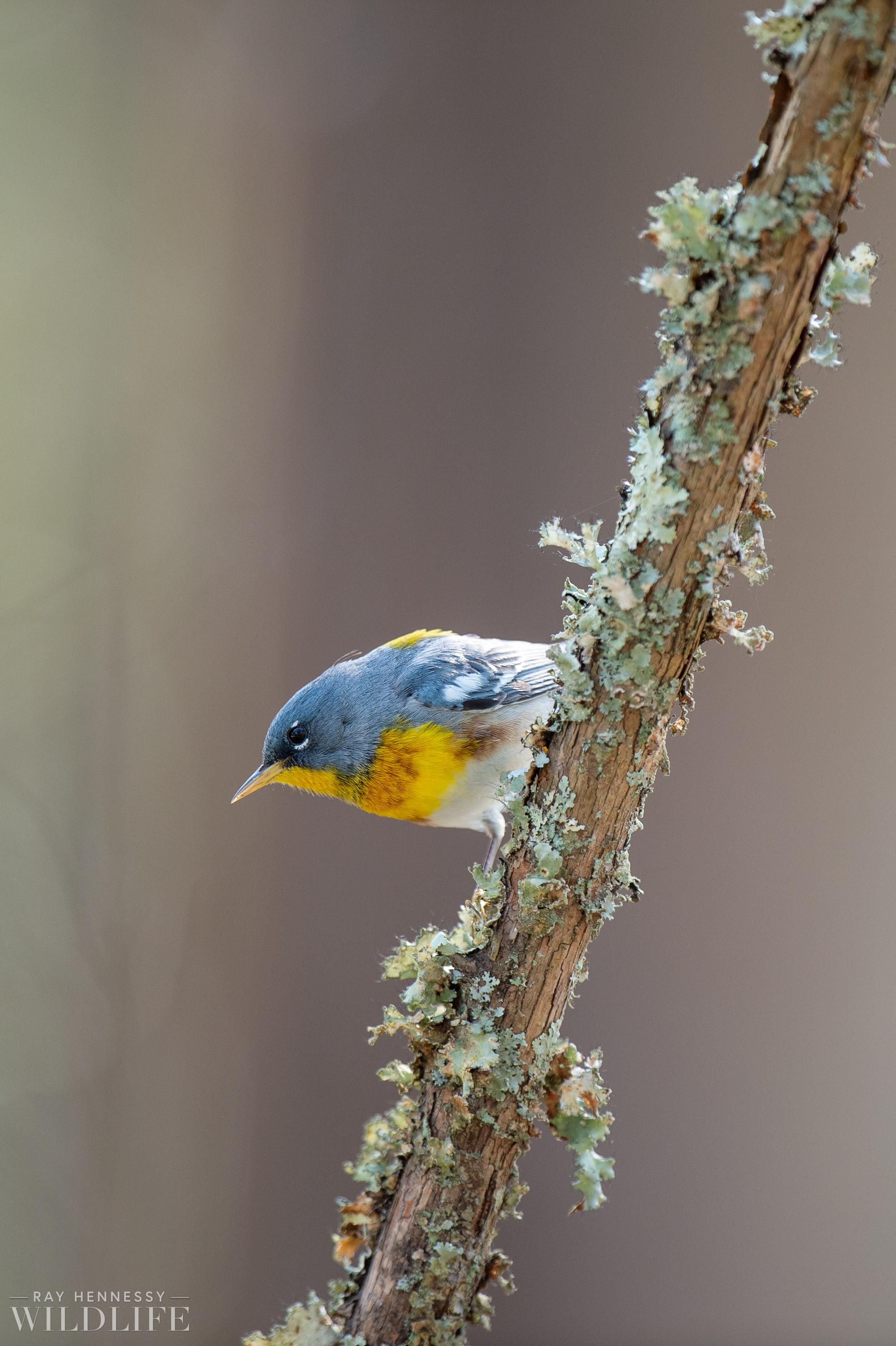 014_spring-warblers-new-jersey.jpg