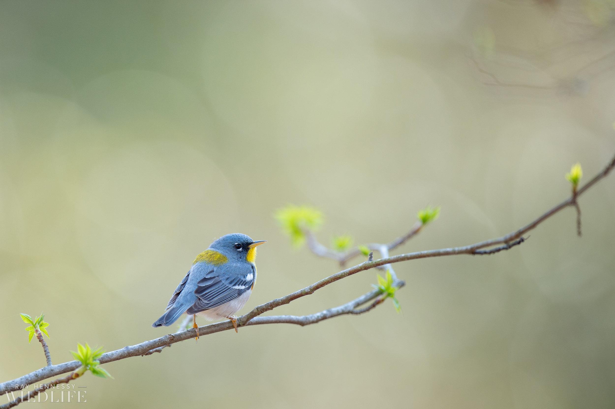 016_spring-warblers-new-jersey.jpg
