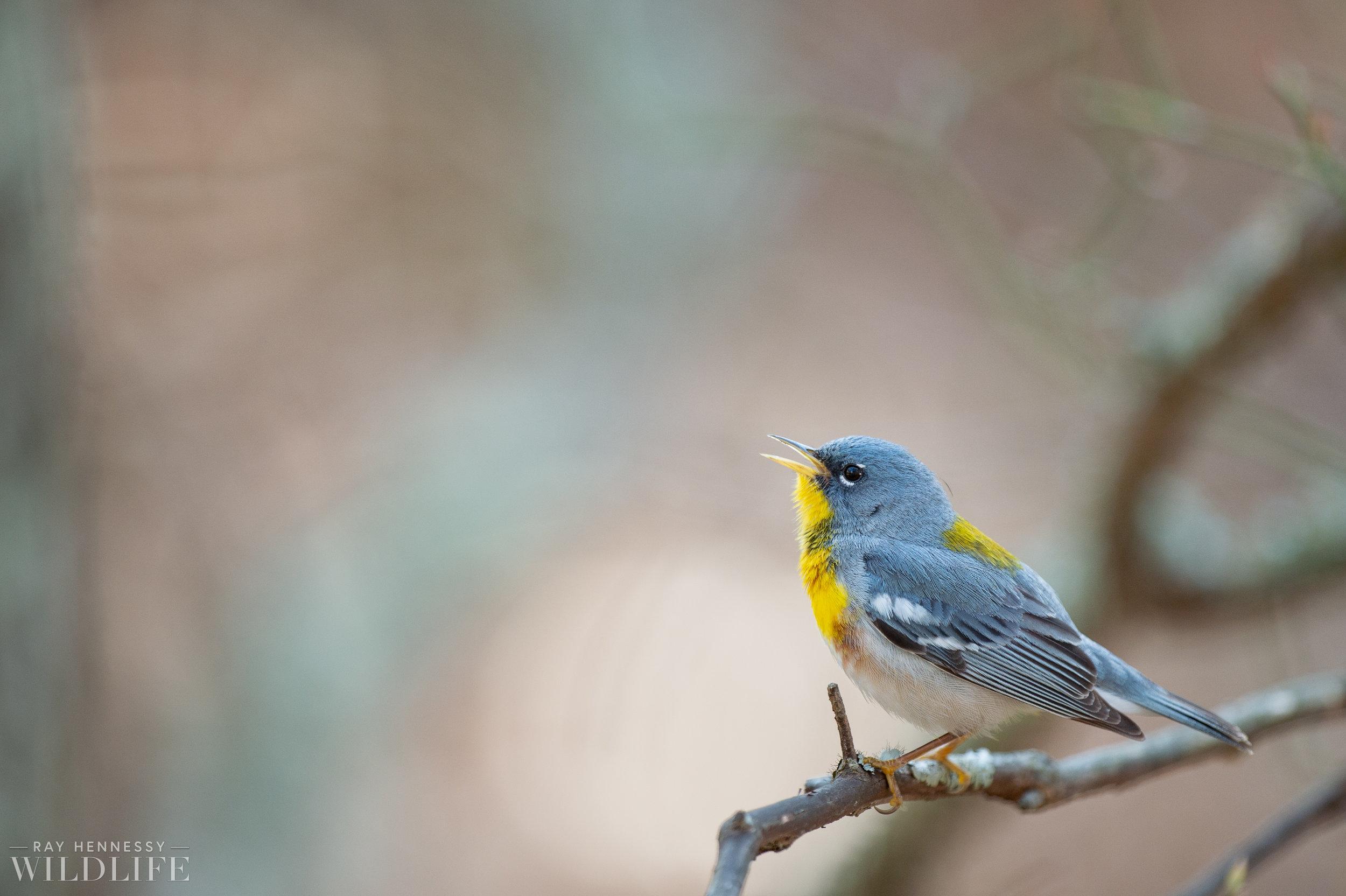 017_spring-warblers-new-jersey.jpg