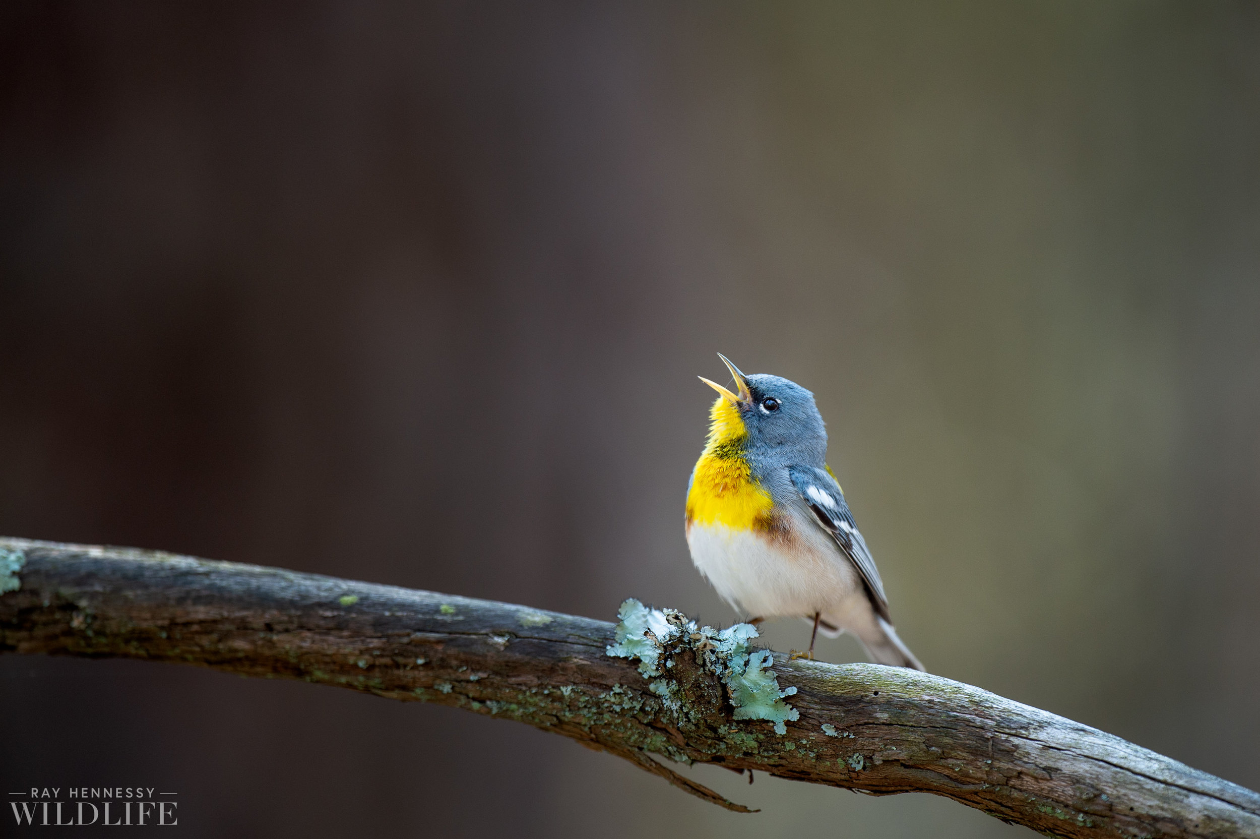 019_spring-warblers-new-jersey.jpg