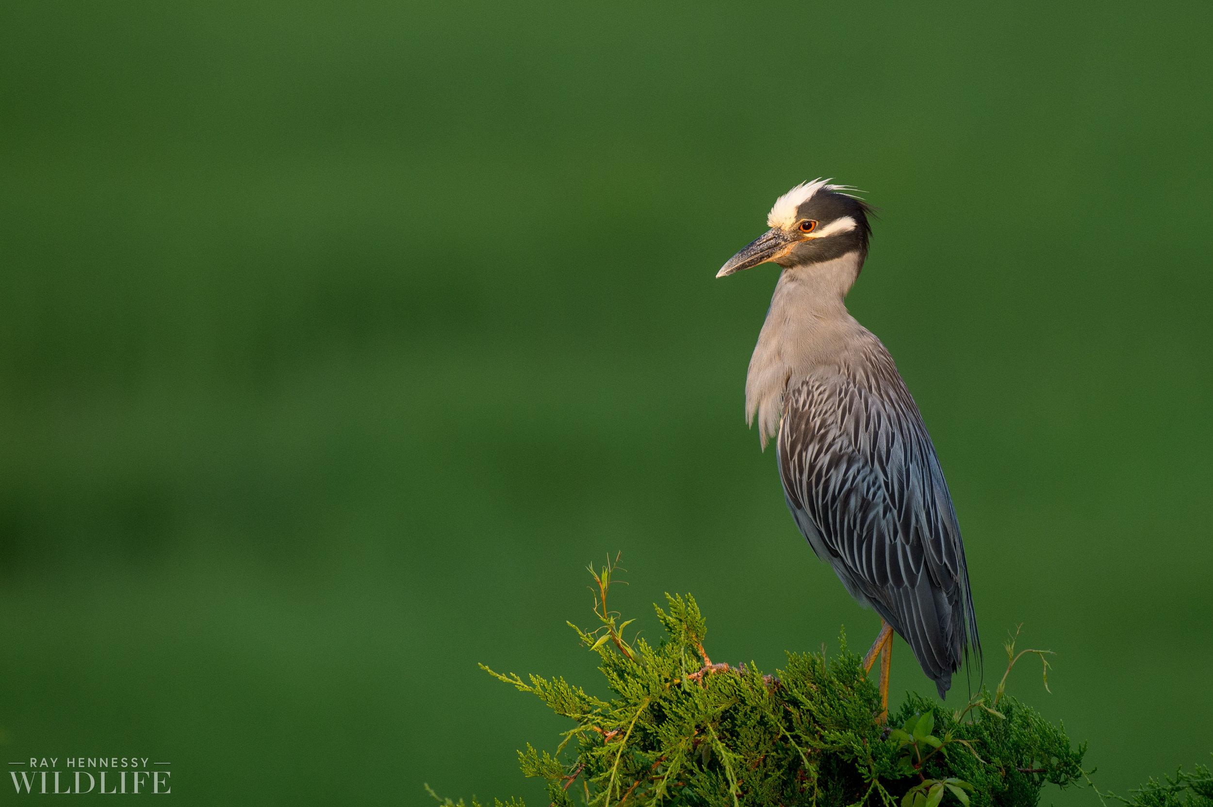 001_yellow-crowned-night-heron.jpg