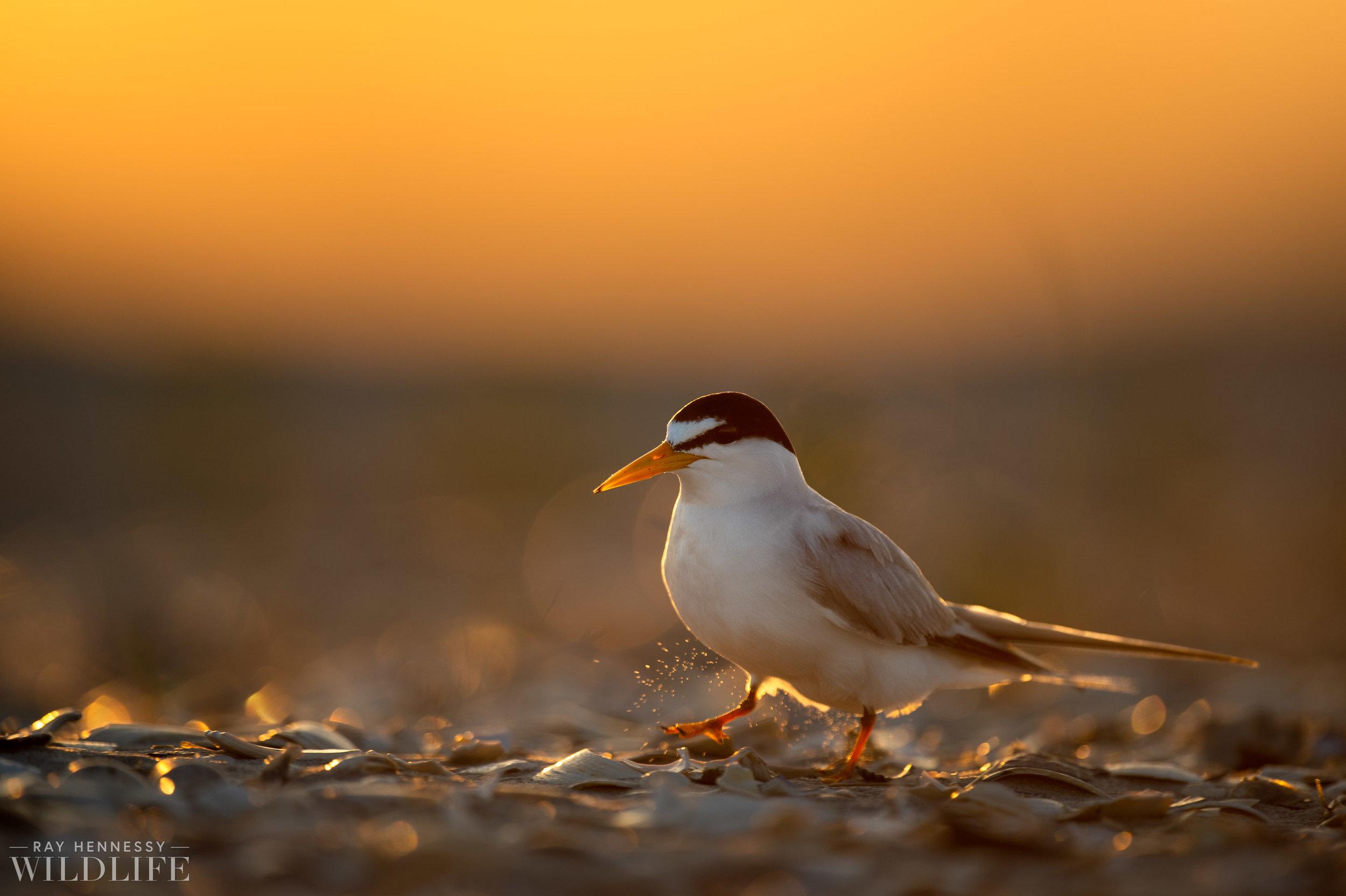 002_least-tern.jpg
