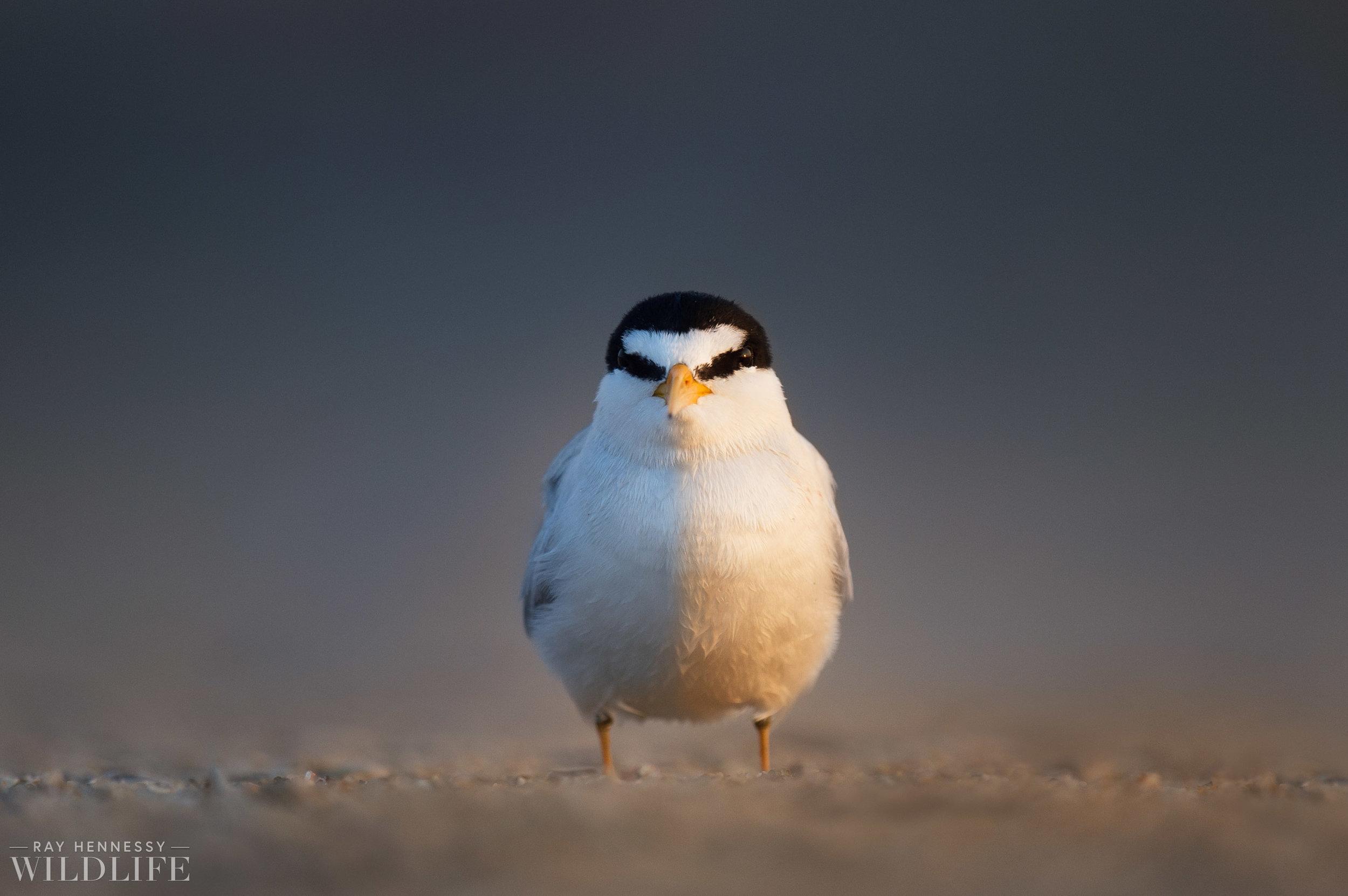 004_least-tern.jpg