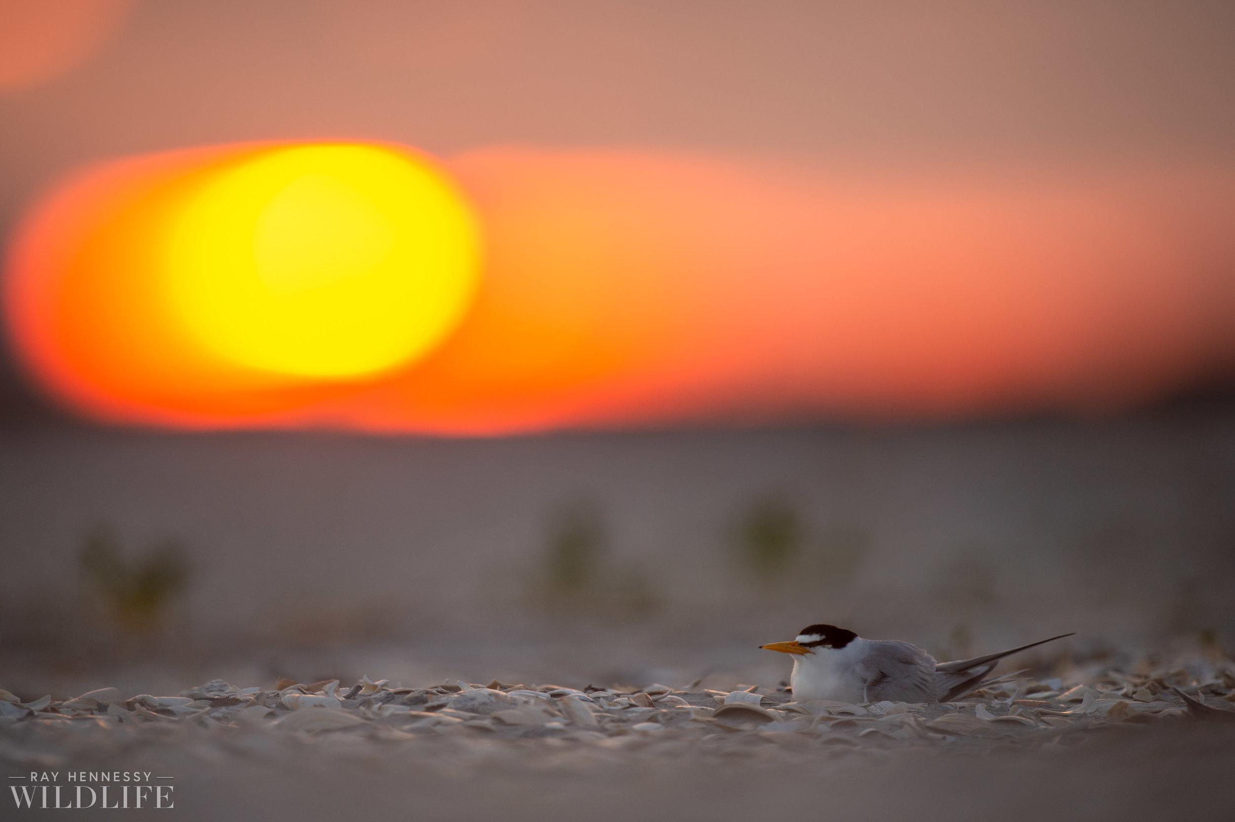 005_least-tern.jpg