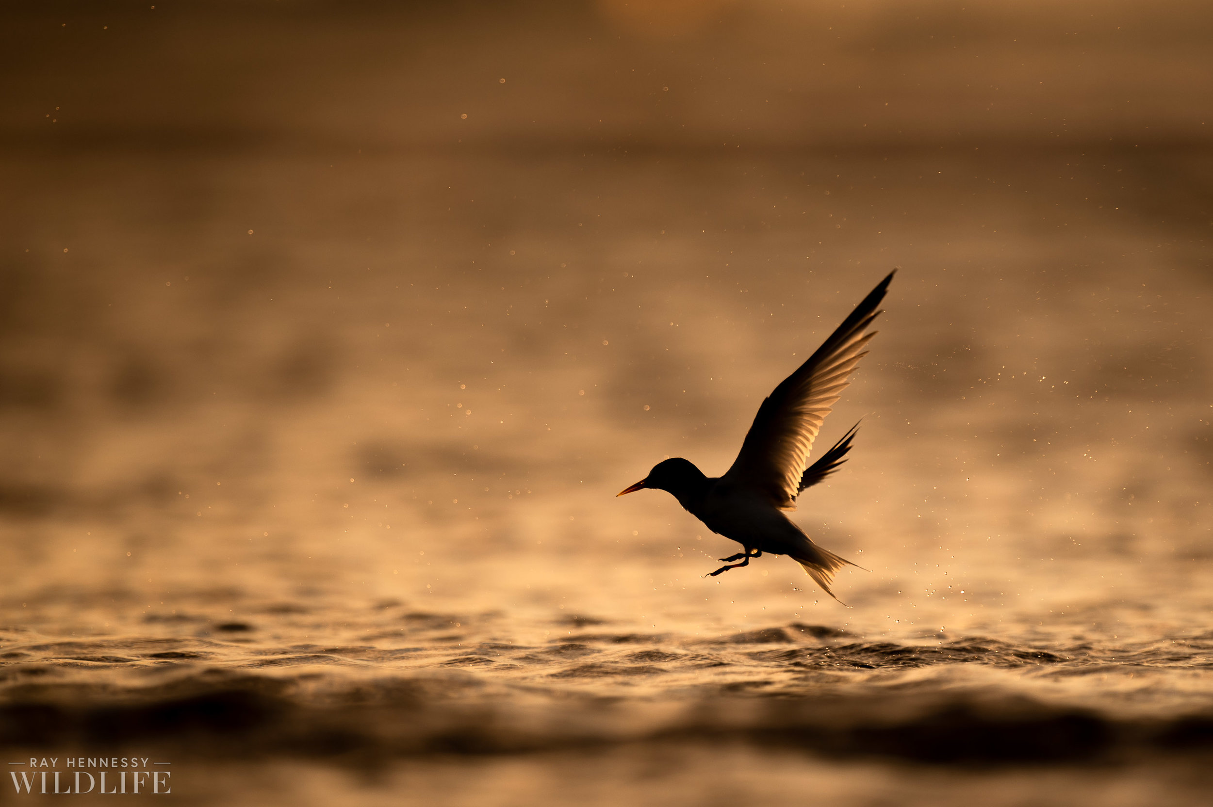 007_least-tern.jpg