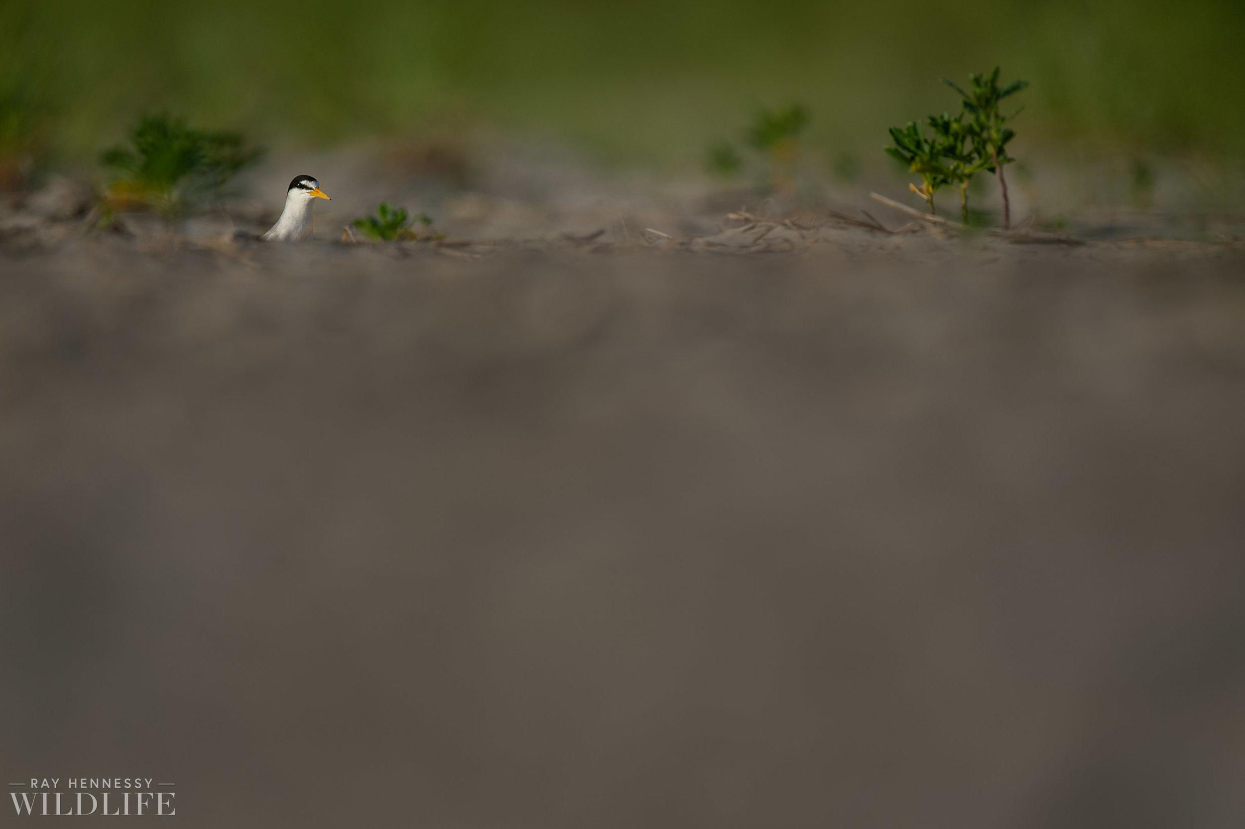 011_least-tern.jpg