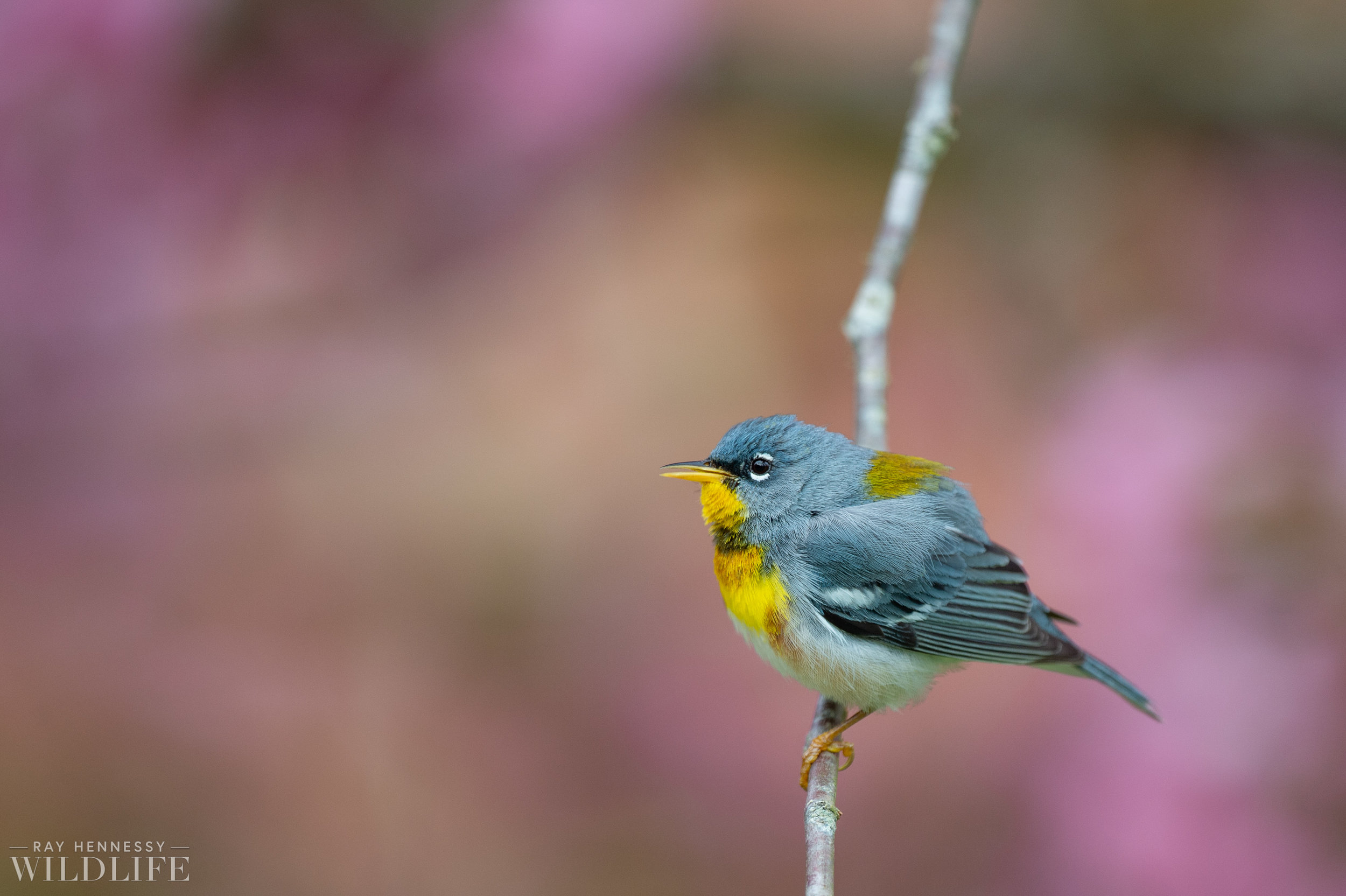 007_spring-warblers-new-jersey.jpg