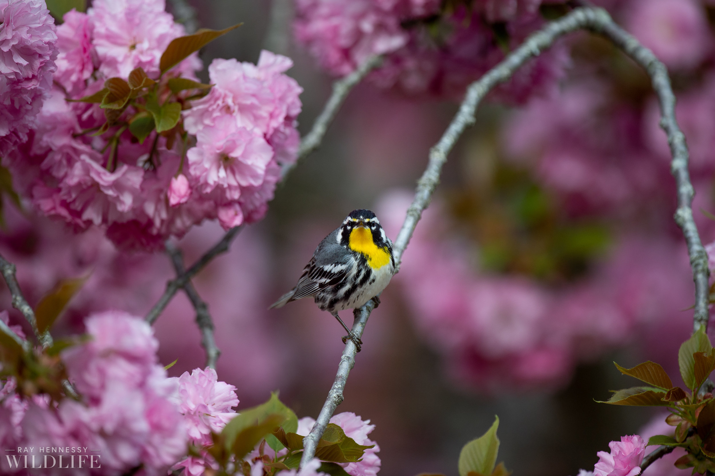 012_spring-warblers-new-jersey.jpg