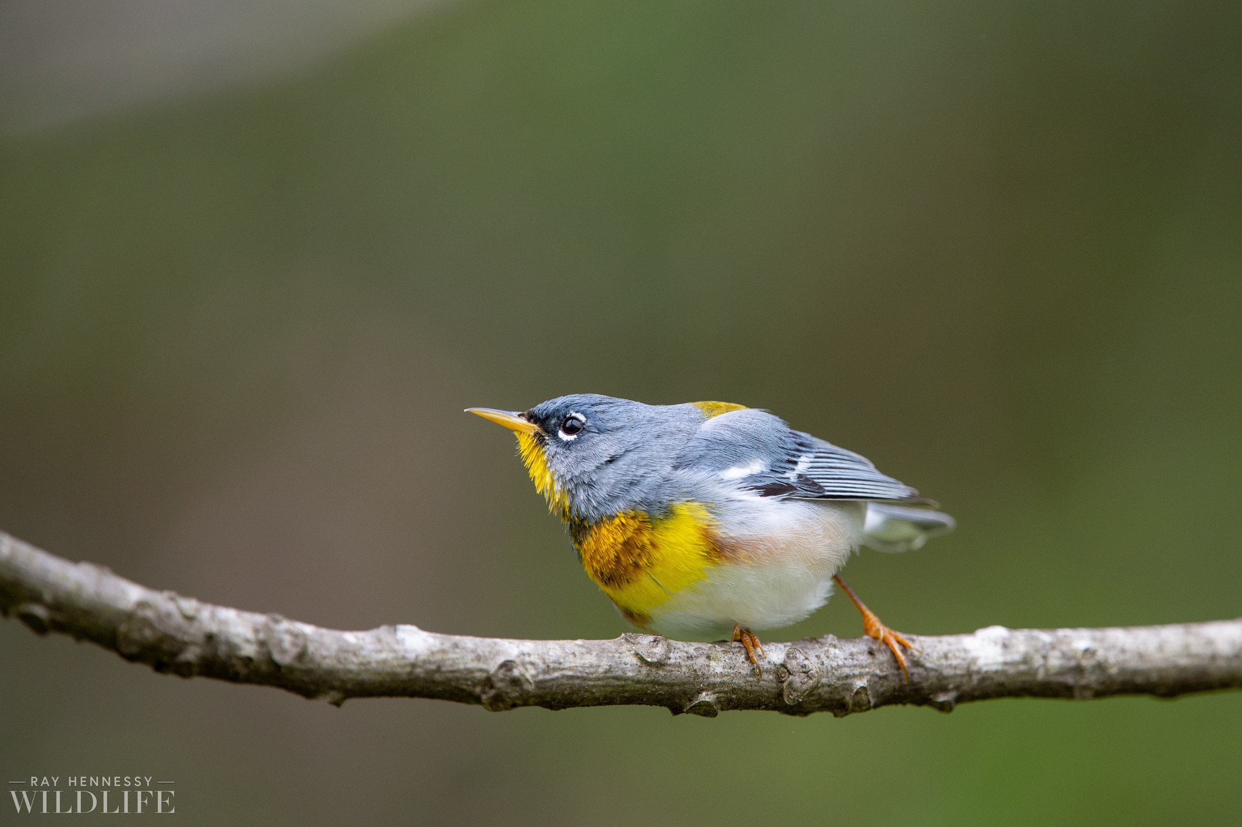 005_spring-warblers-new-jersey.jpg