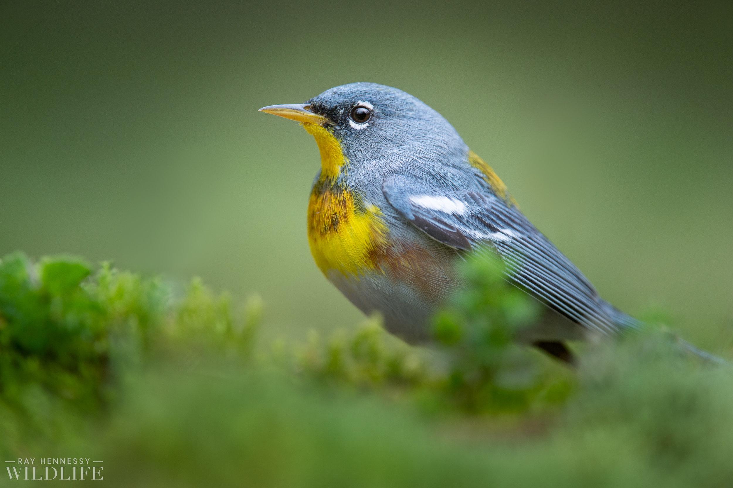 001_spring-warblers.jpg