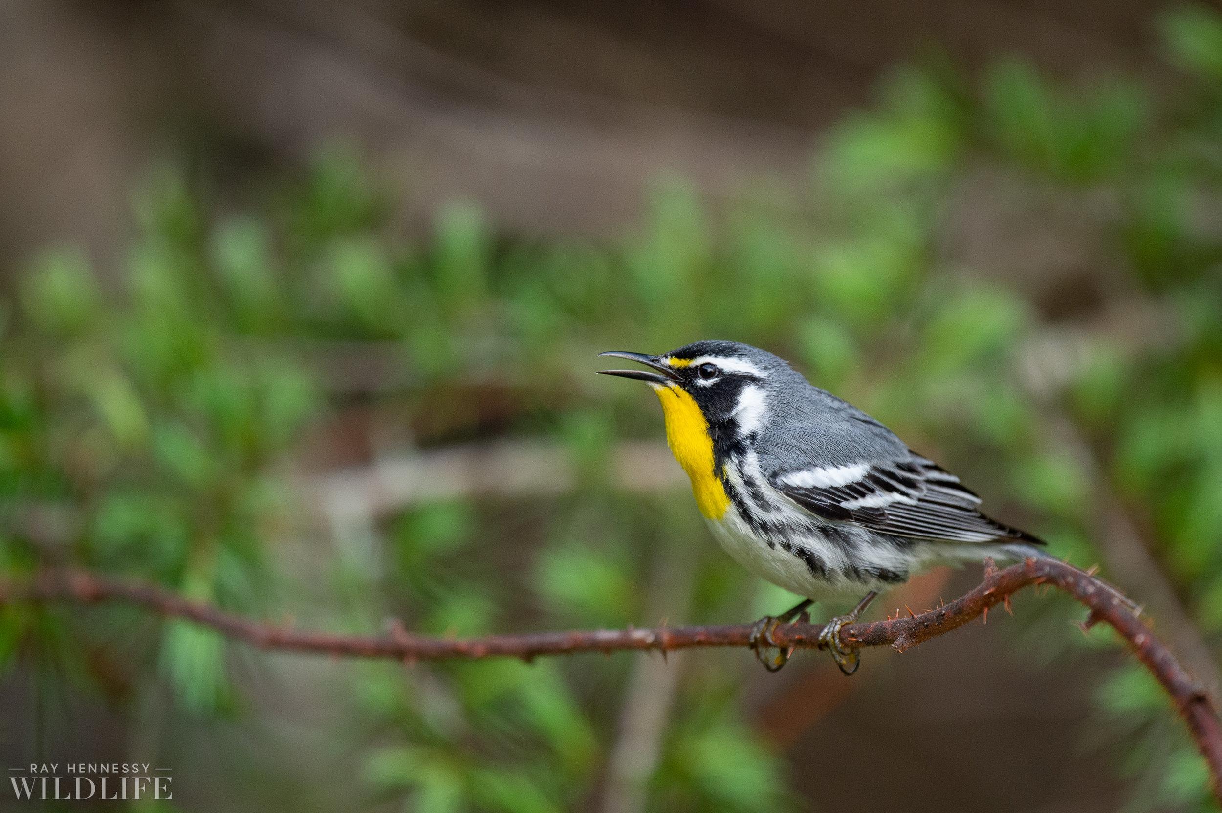 002_spring-warblers.jpg