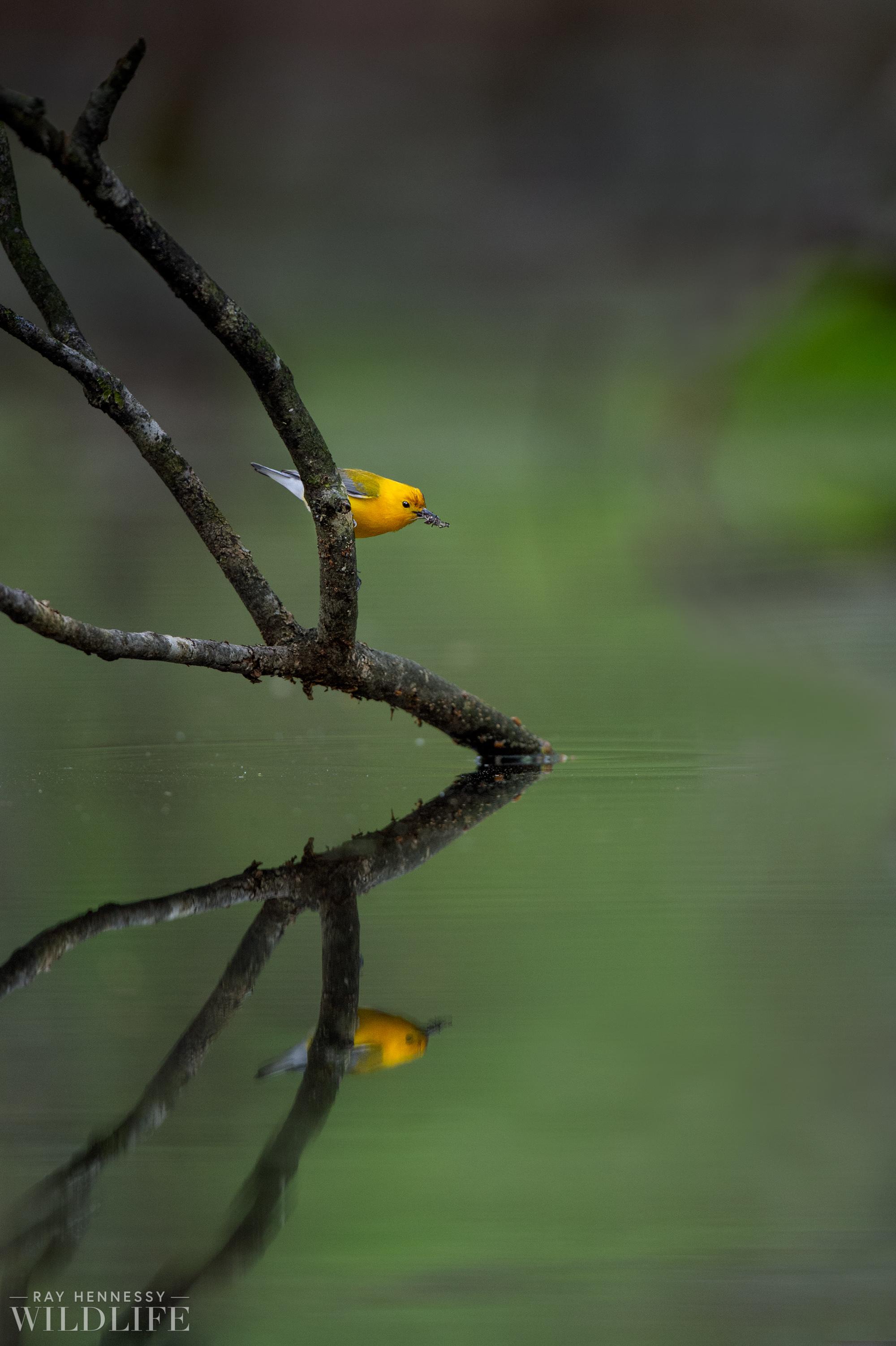 004_spring-warblers.jpg