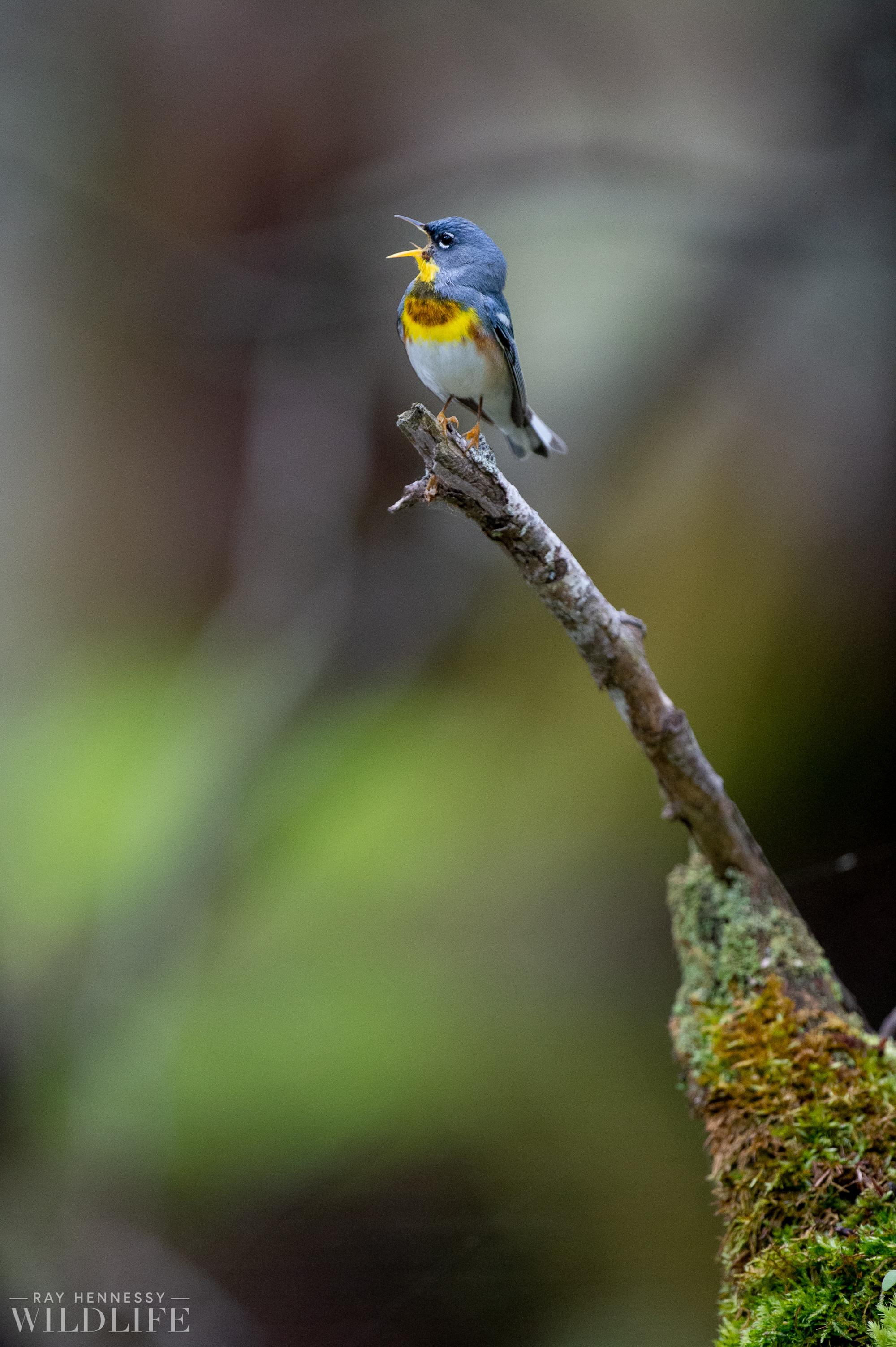 007_spring-warblers.jpg