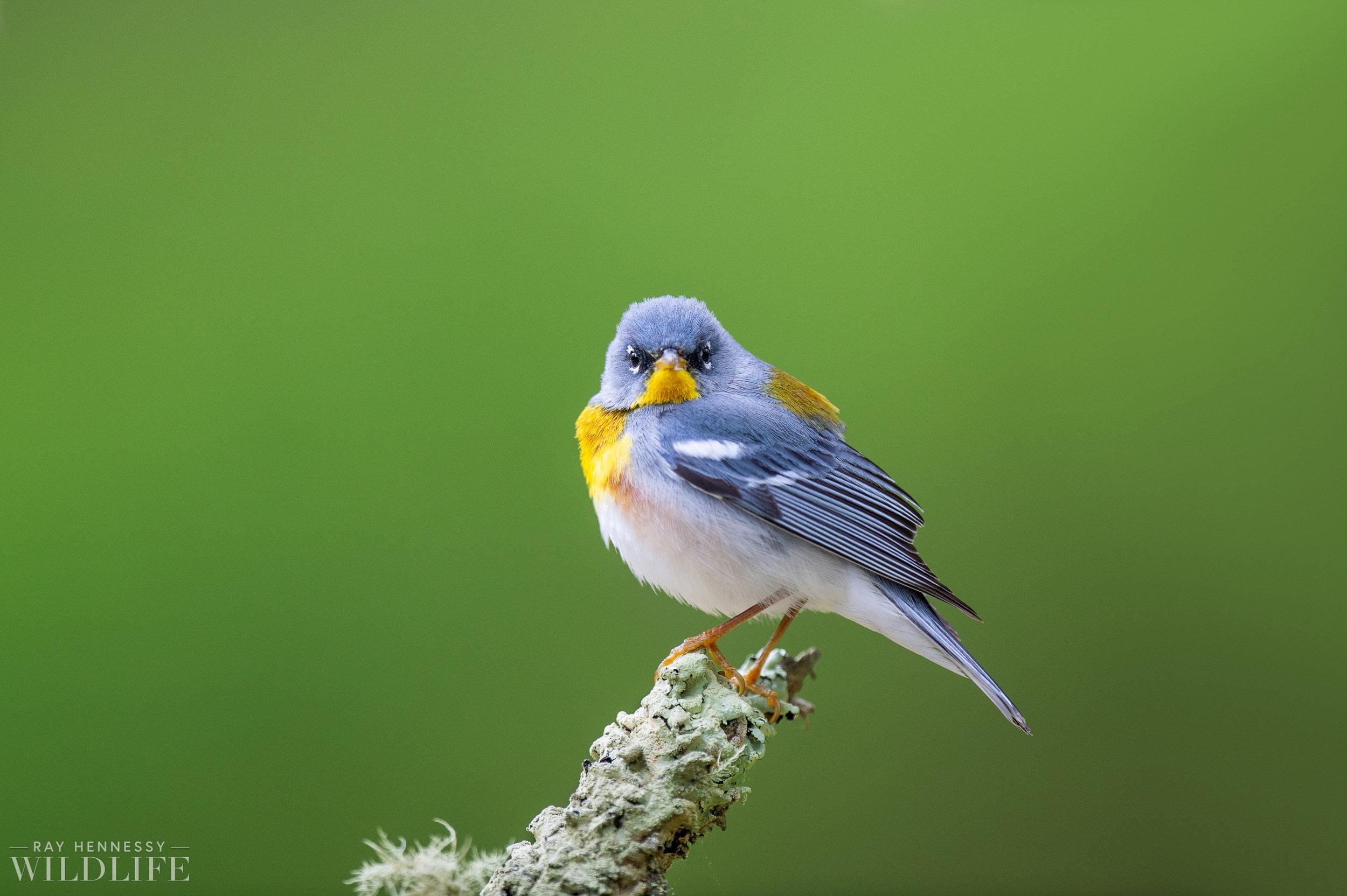 009_spring-warblers.jpg