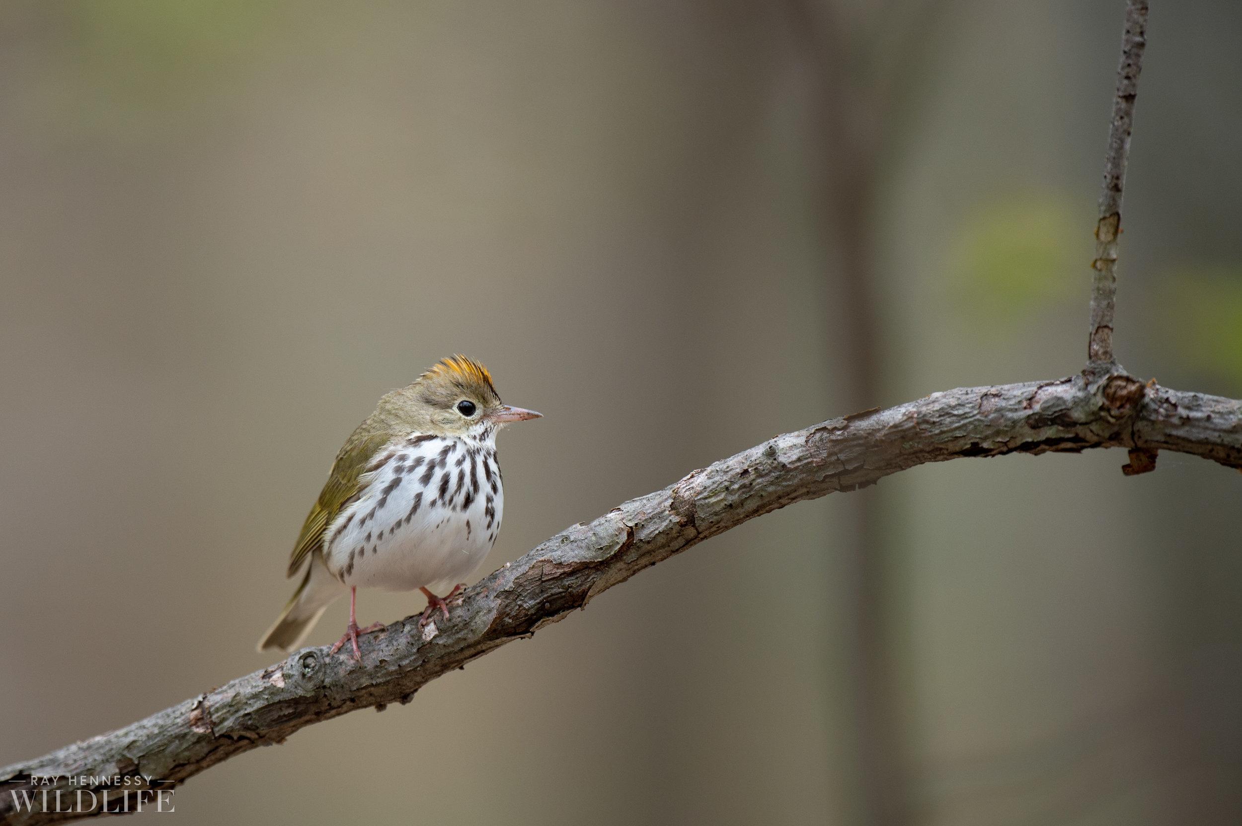 013_spring-warblers.jpg