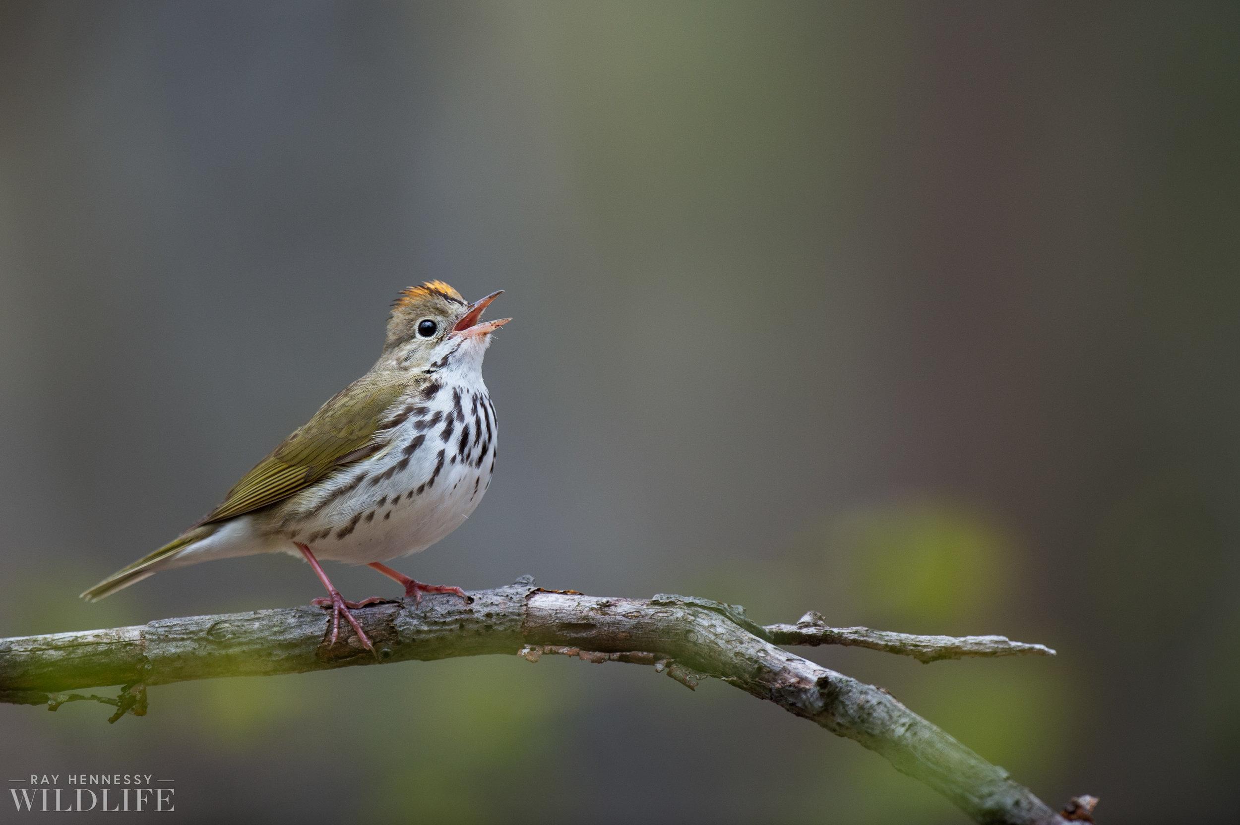 014_spring-warblers.jpg