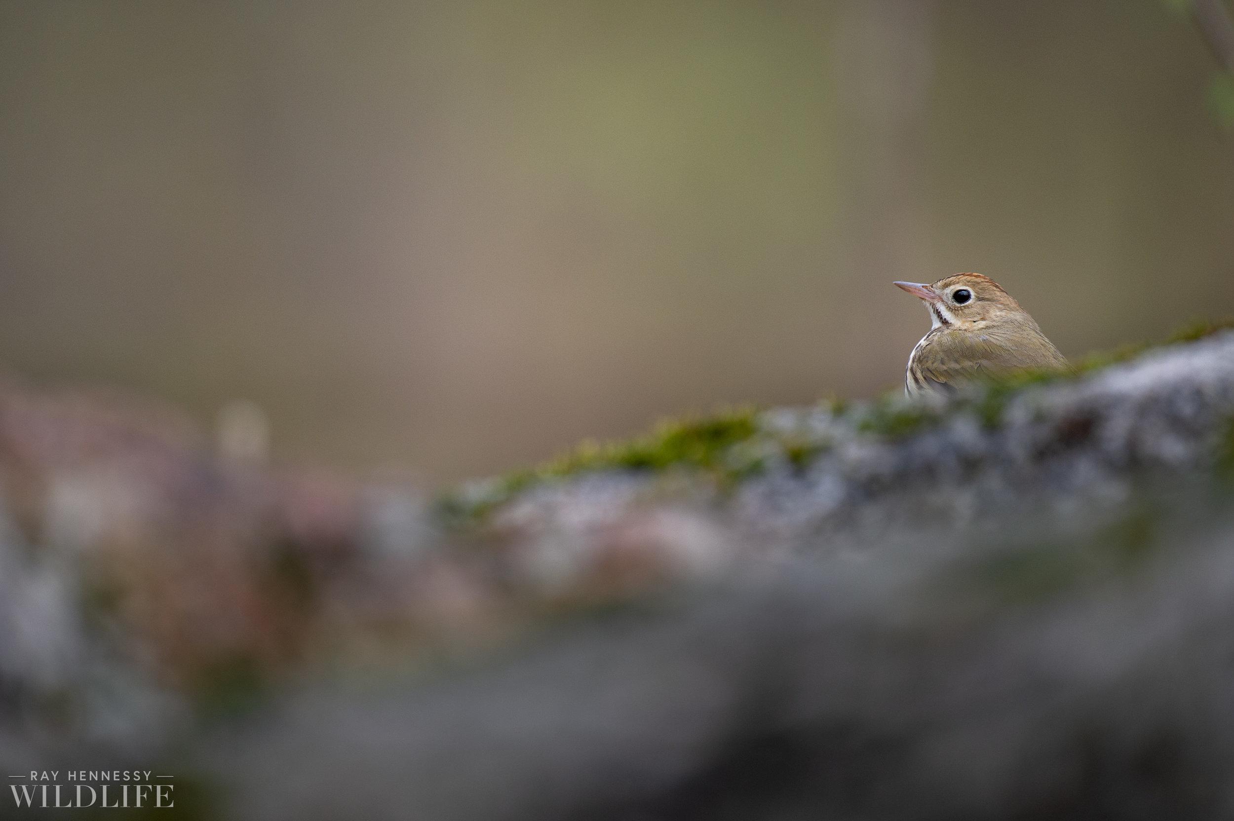 015_spring-warblers.jpg