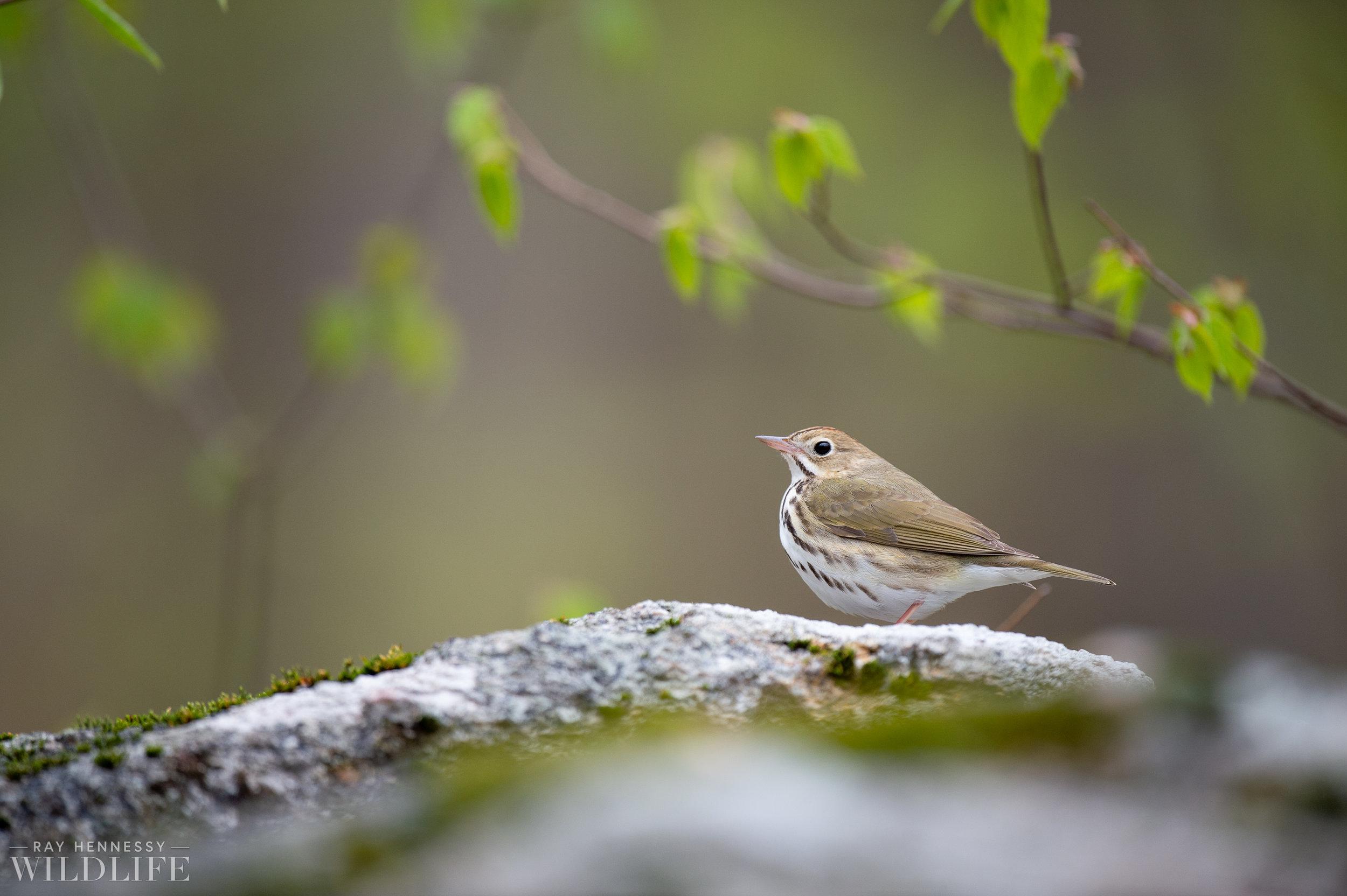016_spring-warblers.jpg