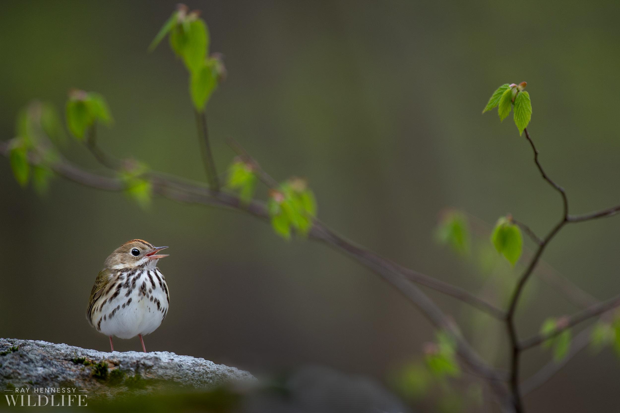 017_spring-warblers.jpg