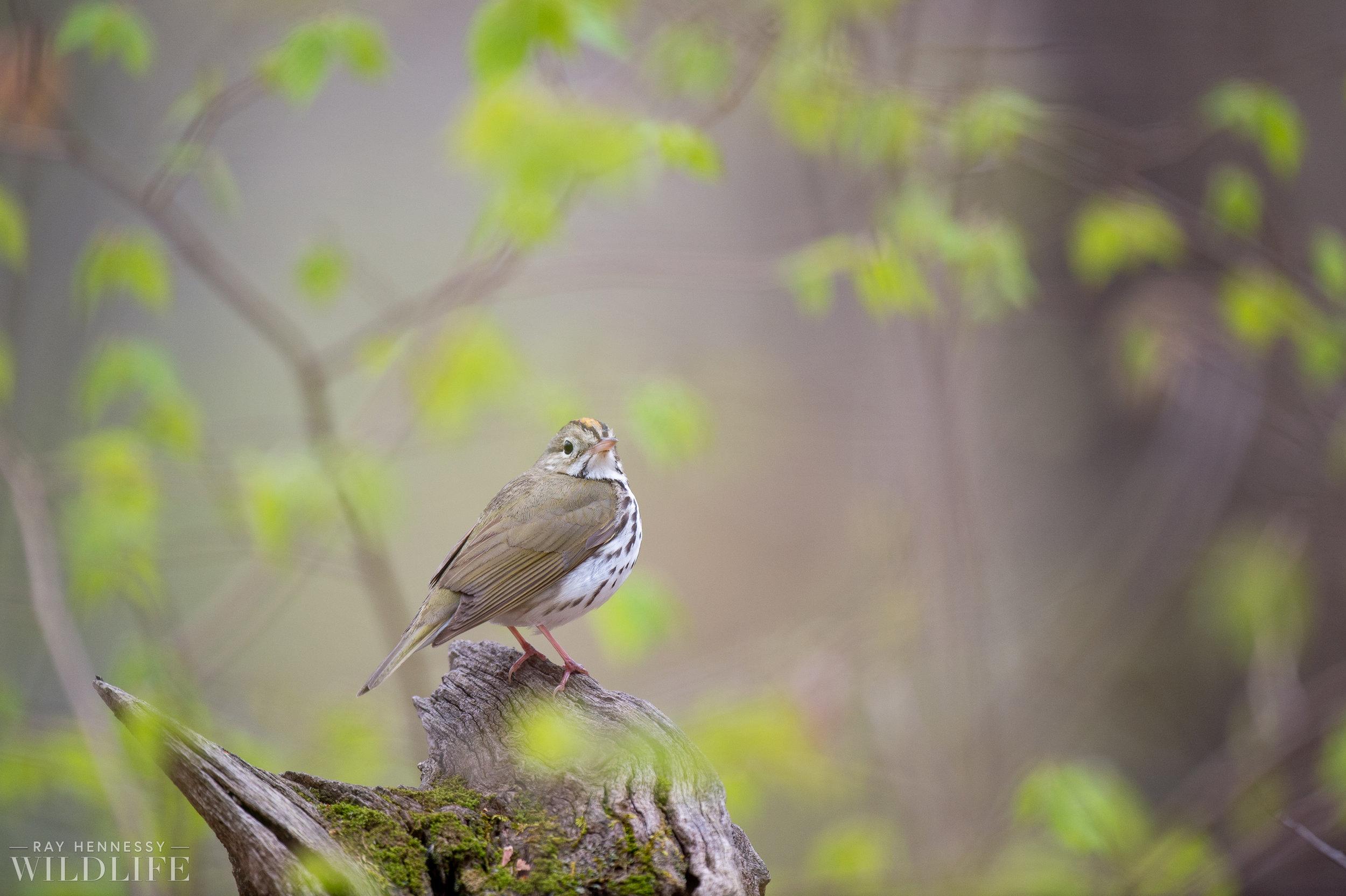 018_spring-warblers.jpg