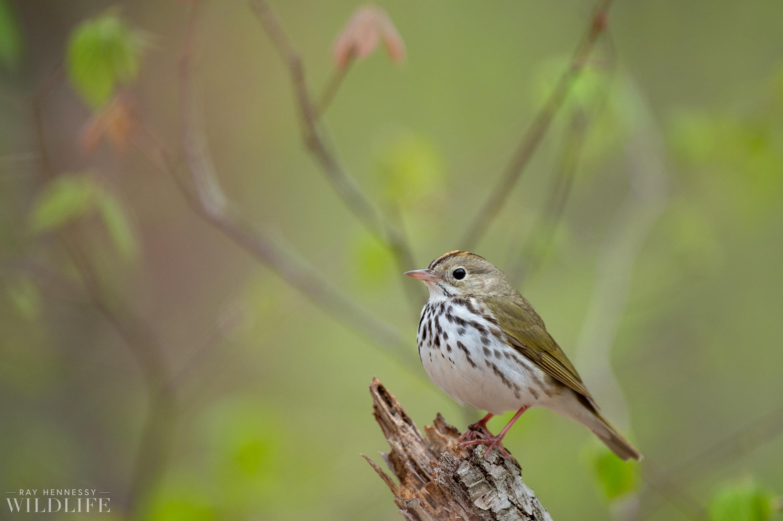 019_spring-warblers.jpg