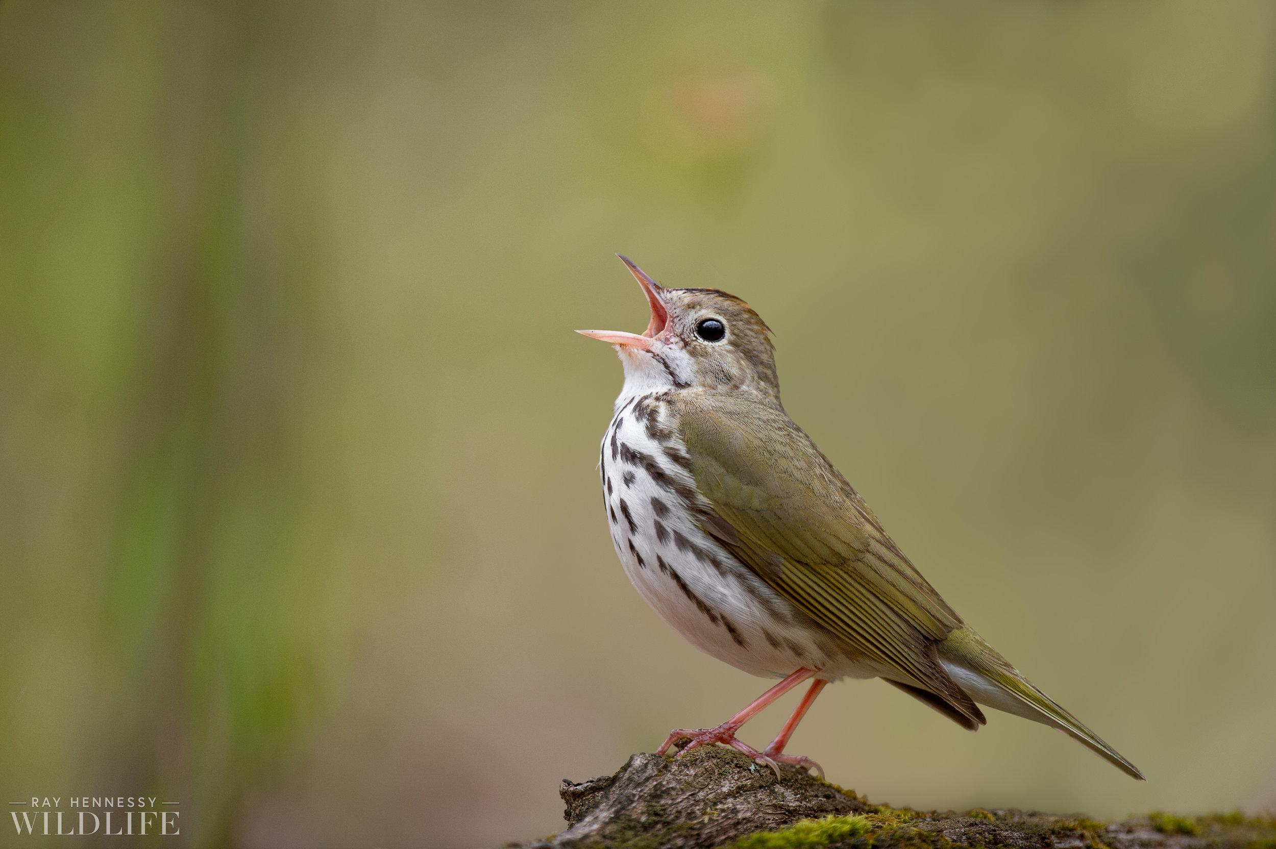020_spring-warblers.jpg