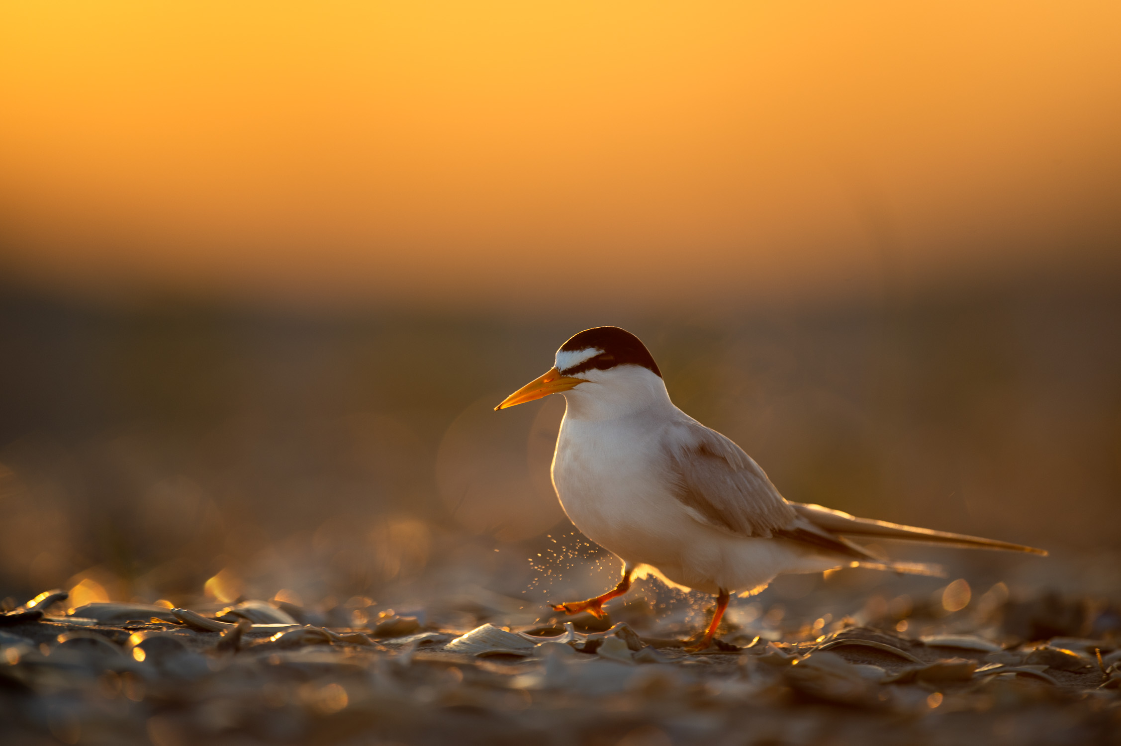 Least Tern on the Beach.jpg
