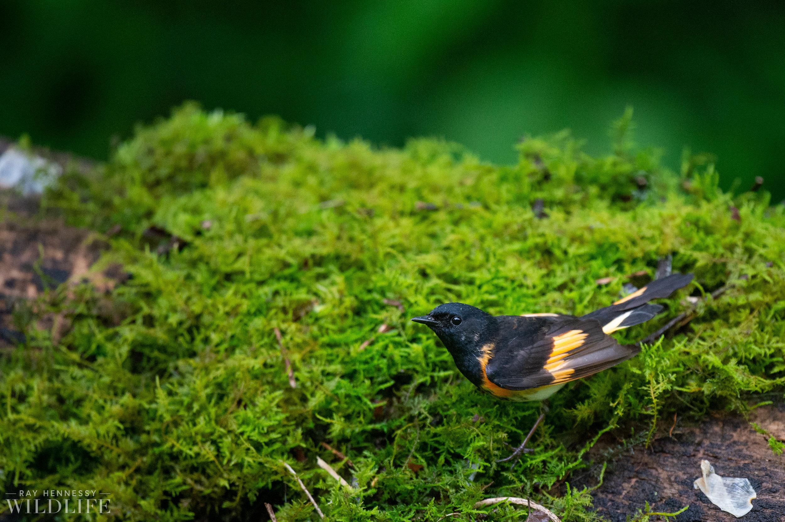 002_northern-new-jersey-warblers.jpg